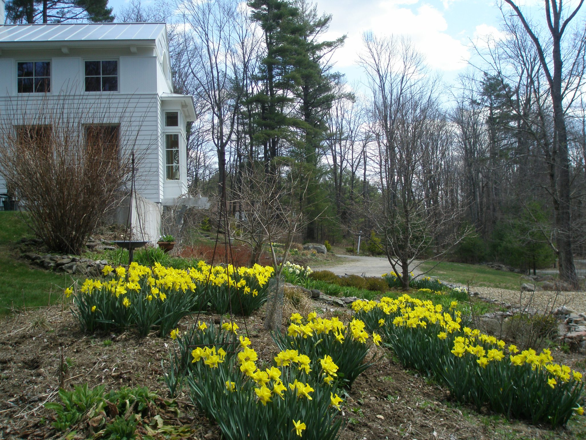 Daffodils in the West Garden