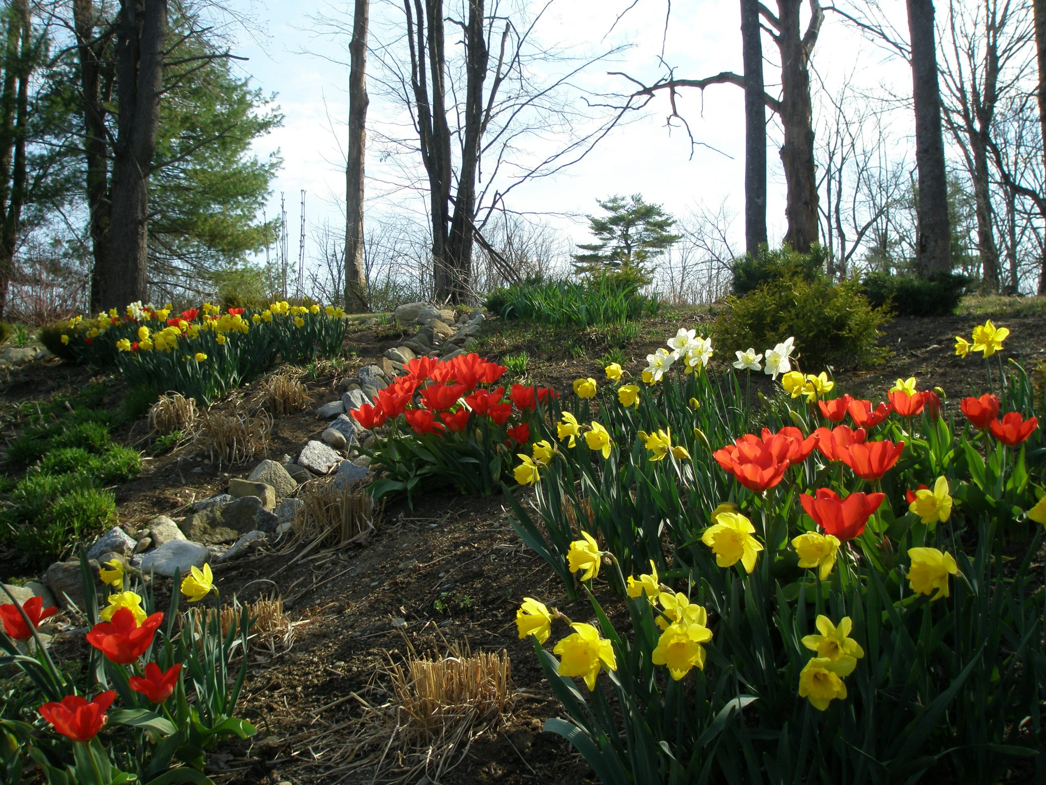 The Harmony of Yellow Daffodils and Red Tulips