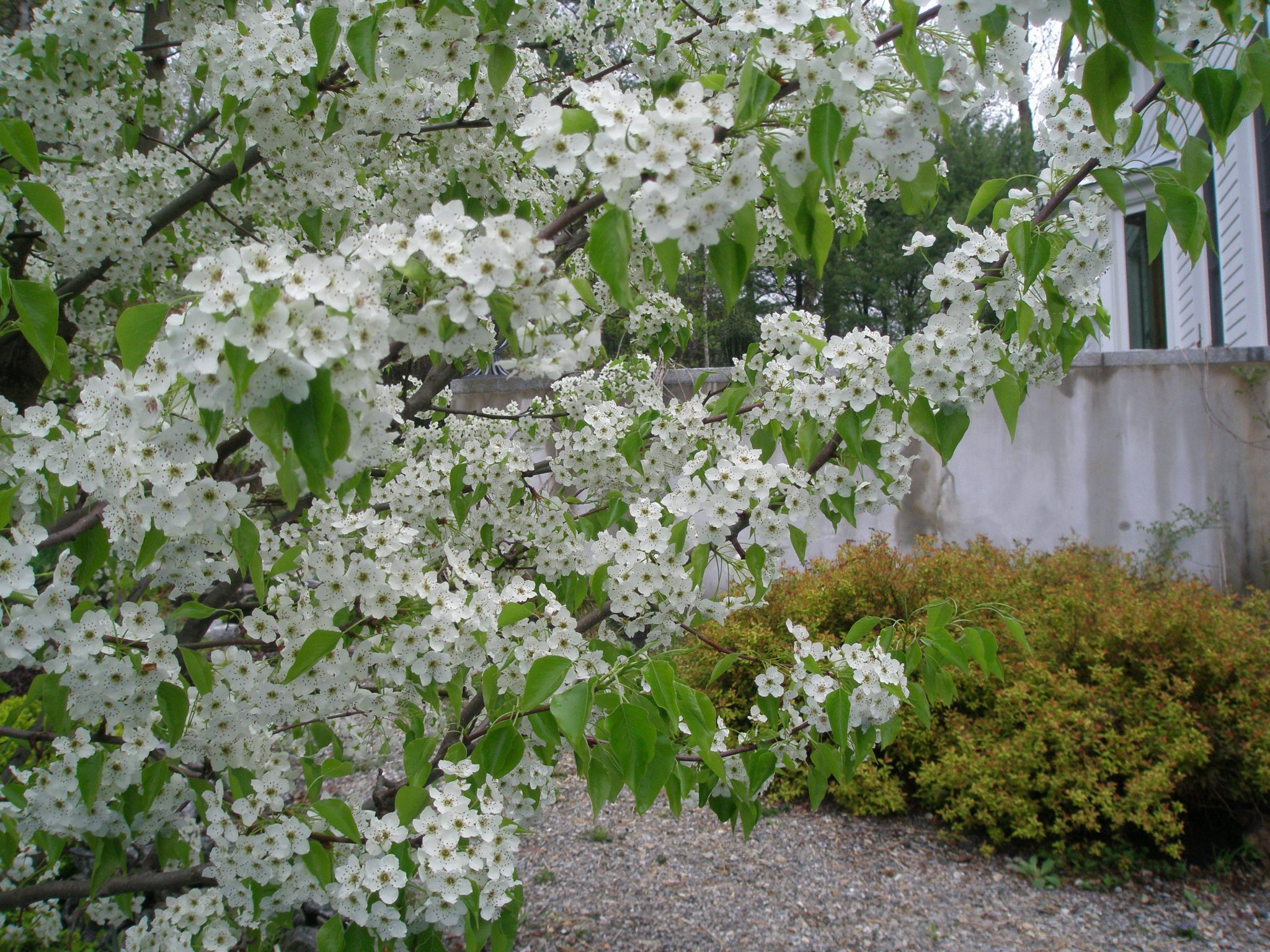 My Ornamental Pear tree in beautiful, blowzy-bloom.