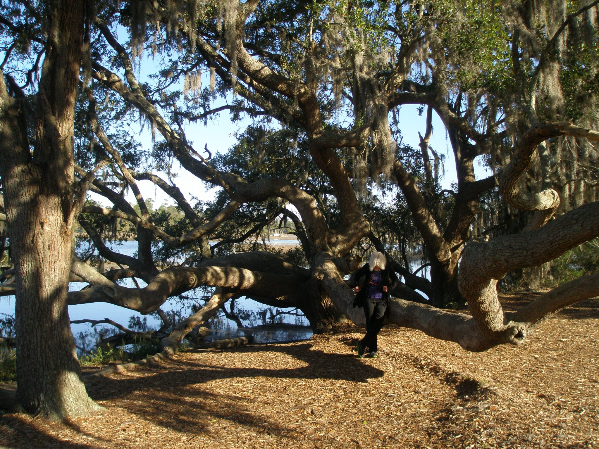 Donn, trying on a Live Oak tree for size