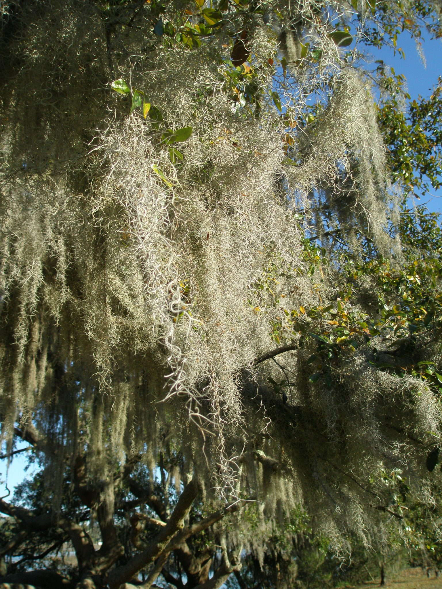 Spanish Moss in a Live Oak