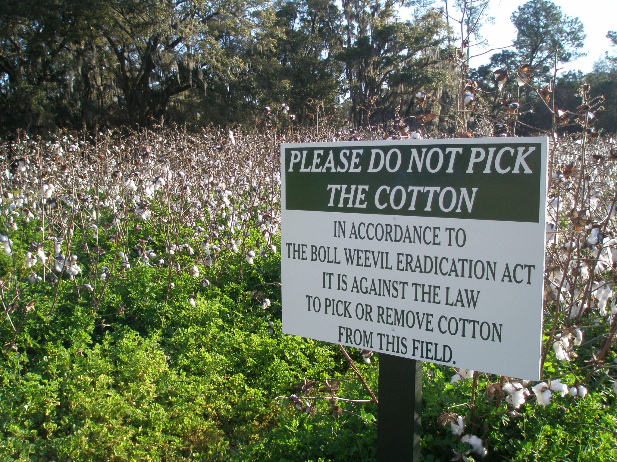 My first encounter with a Real-Life Cotton Field