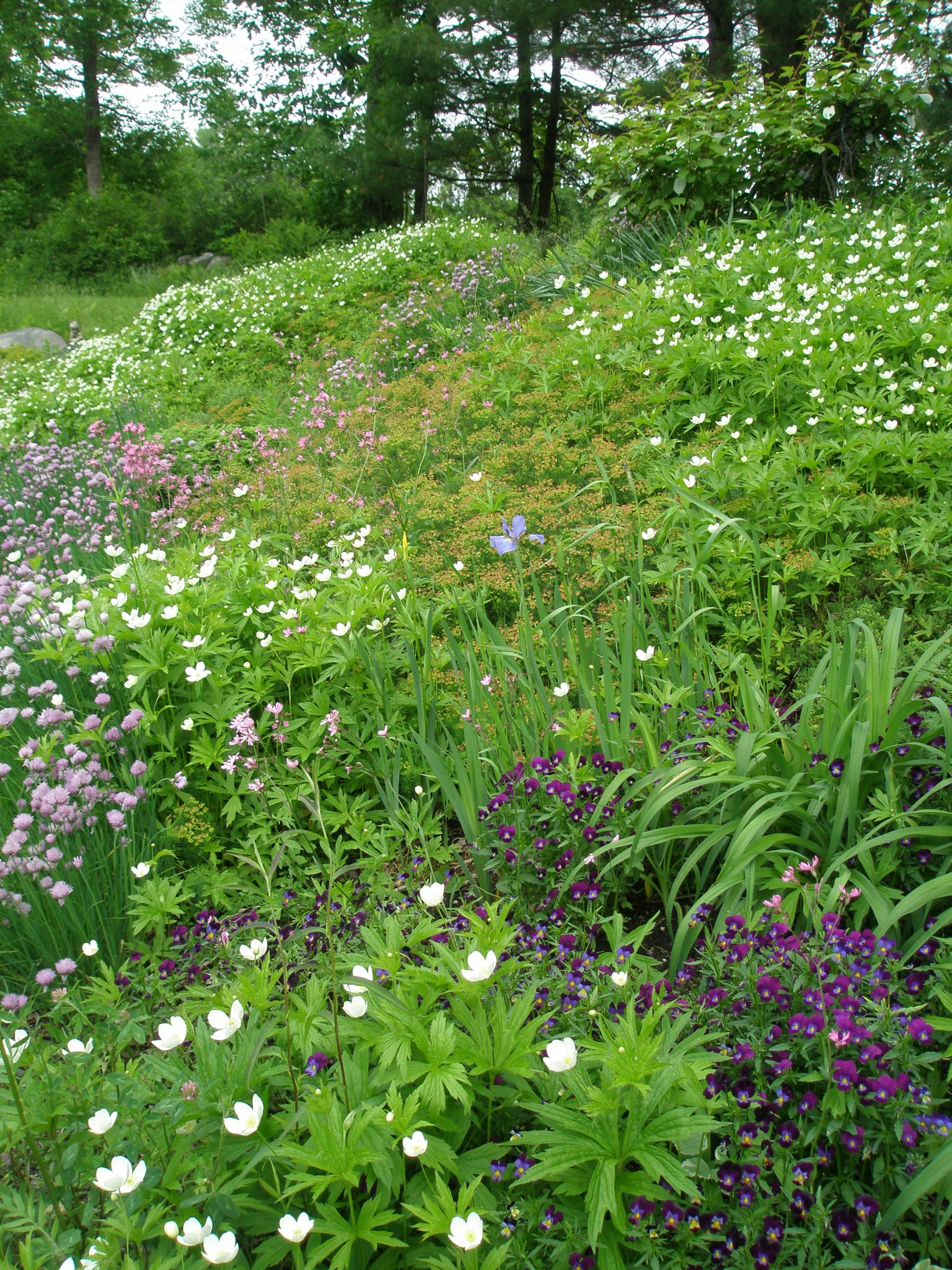 In early June, tulips and daffodils have disappeared under waves of Canadian Anenome, Ragged Robin, Violas and Chives.