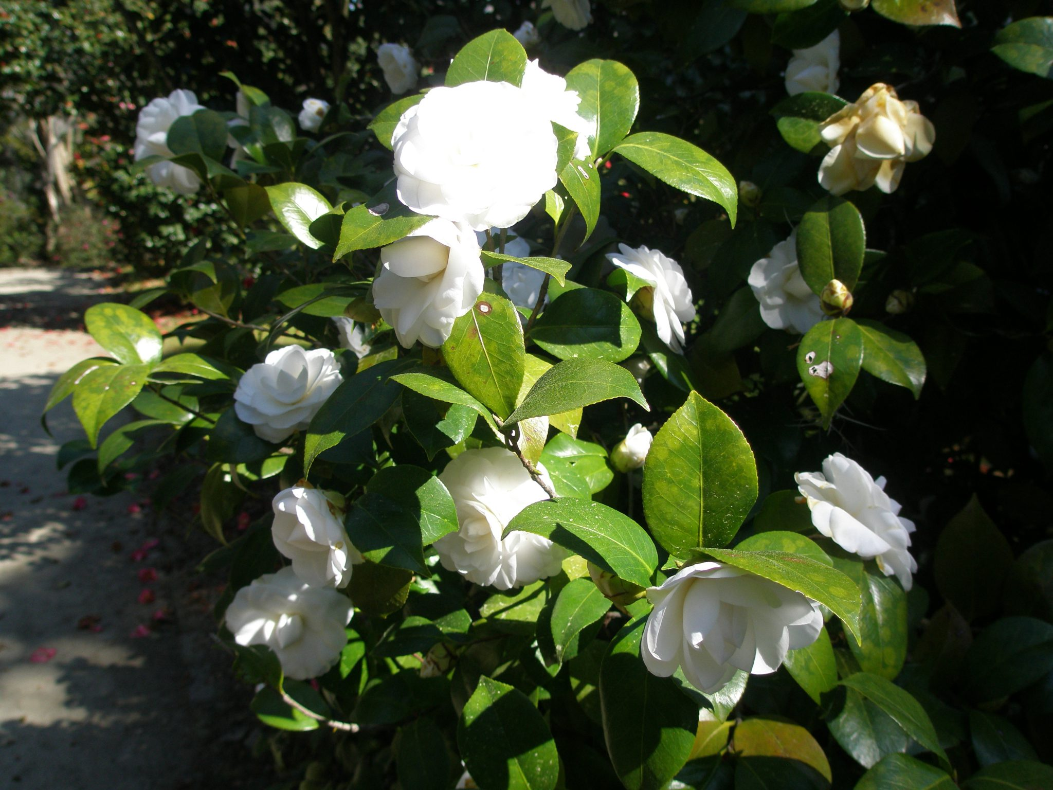 Camellia 'Alba Plena,' along an Allee near the Secret Garden.