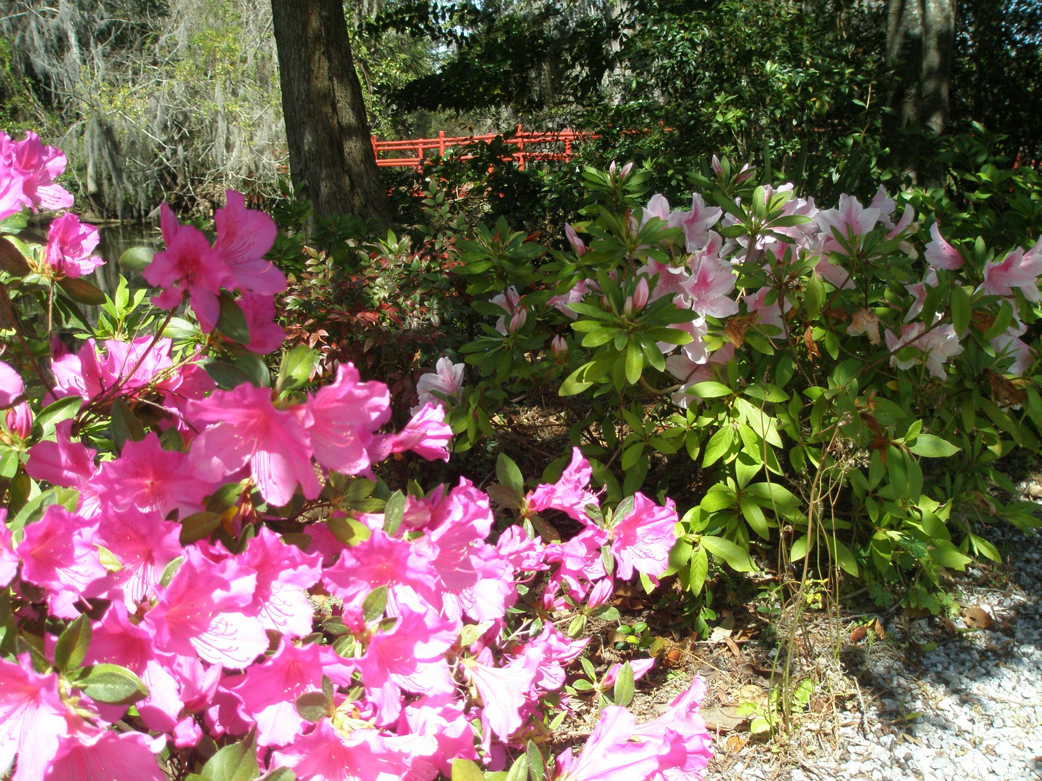 Some Azaleas were still in bloom