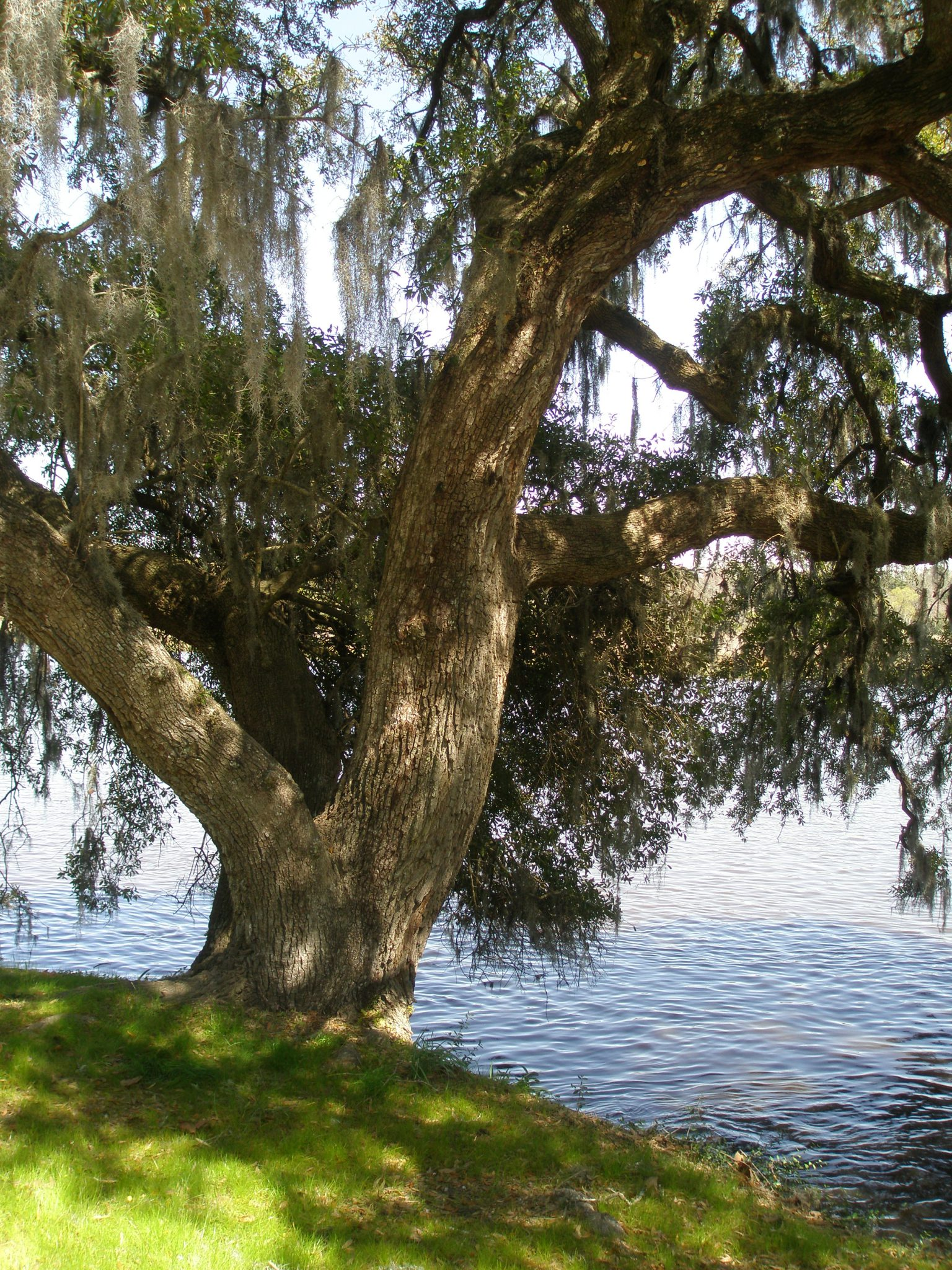 An ancient tree anchors the river bank