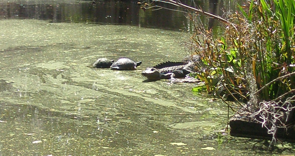 As the Alligator repositions himself, the Turtles wait to hop back aboard.