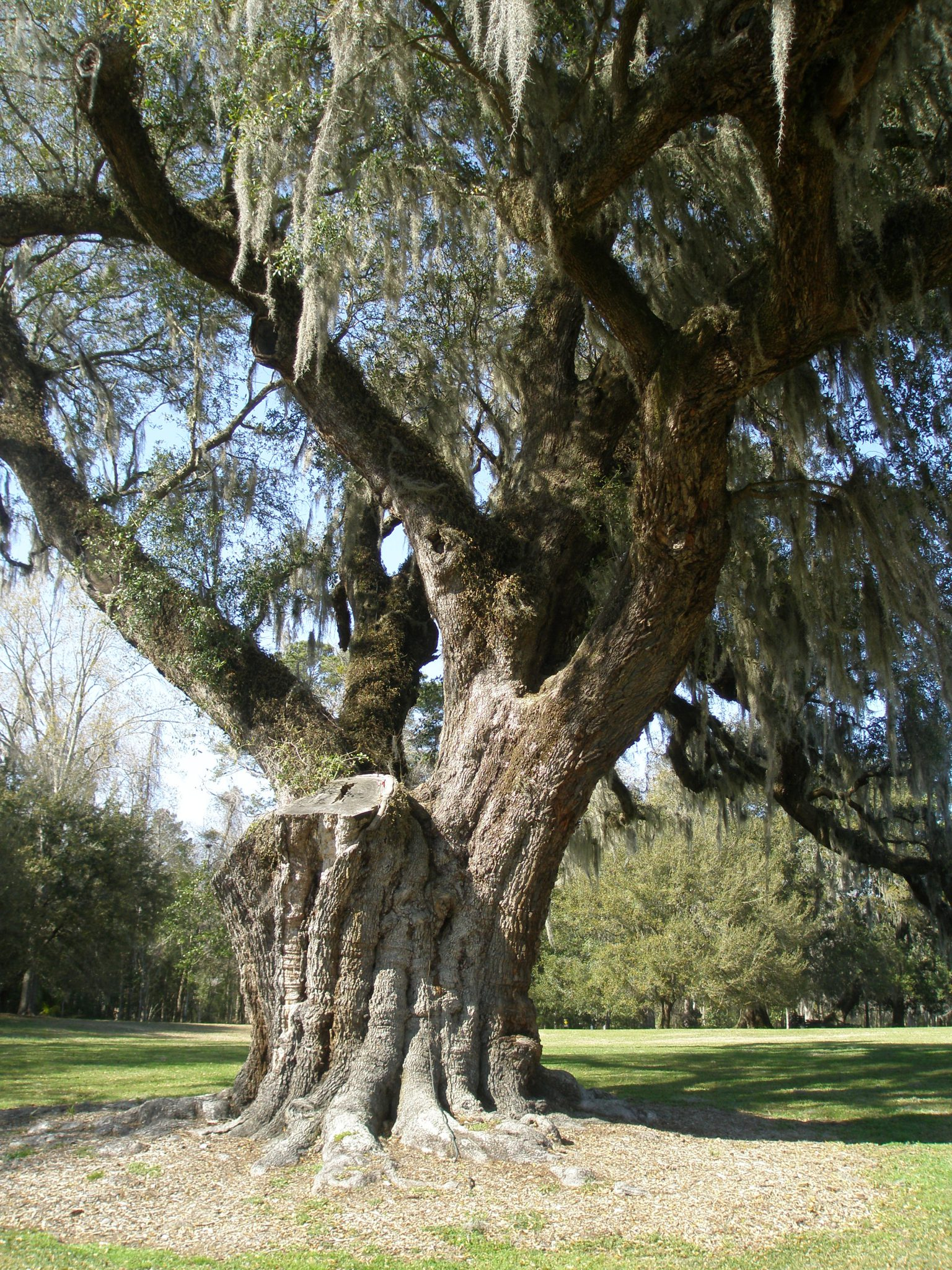 Yet another of the Low Country's Ancient Oaks...battle-scarred, but holding its ground.