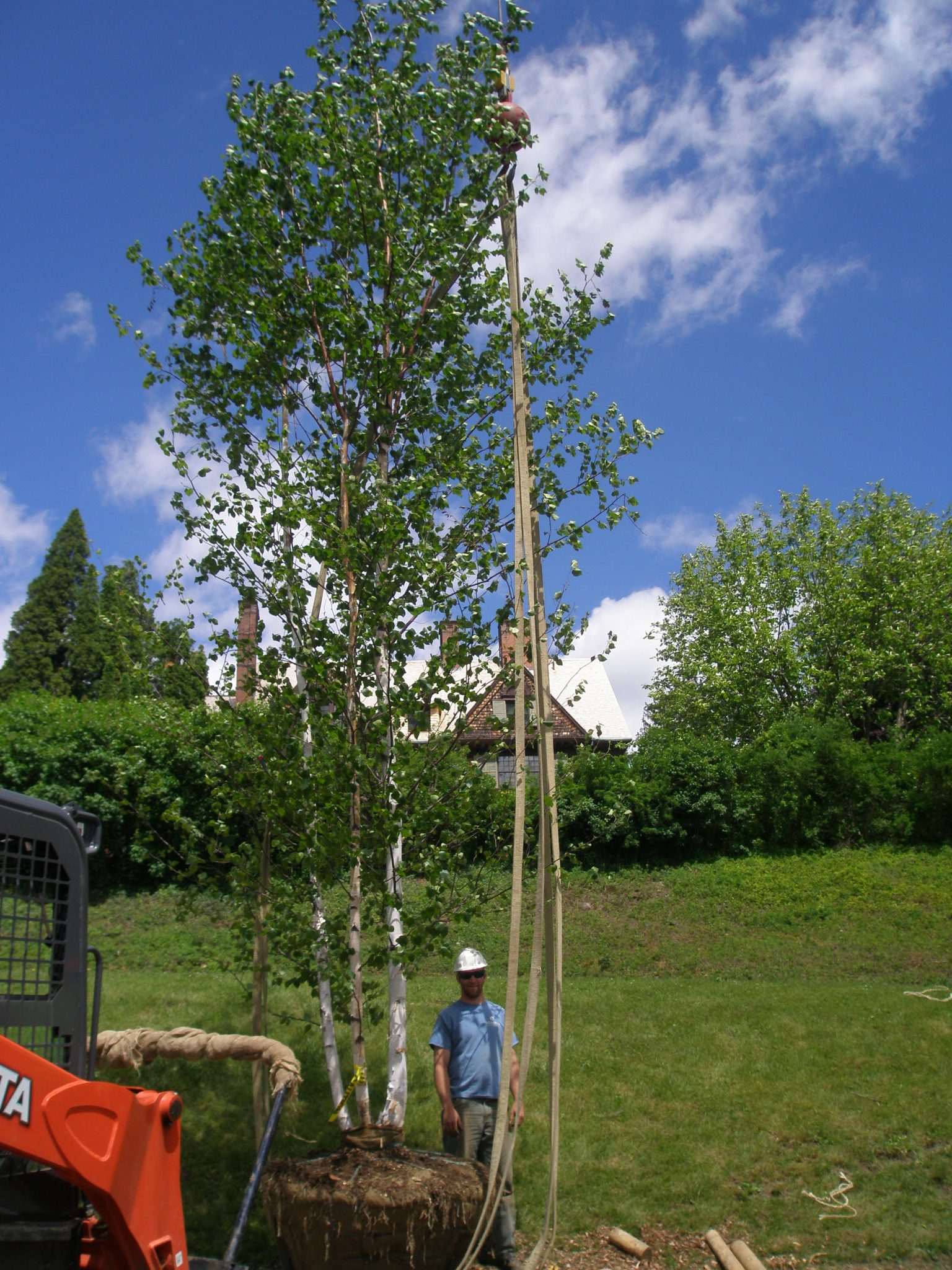 This gentleman was happy to provide human scale, next to a new birch.