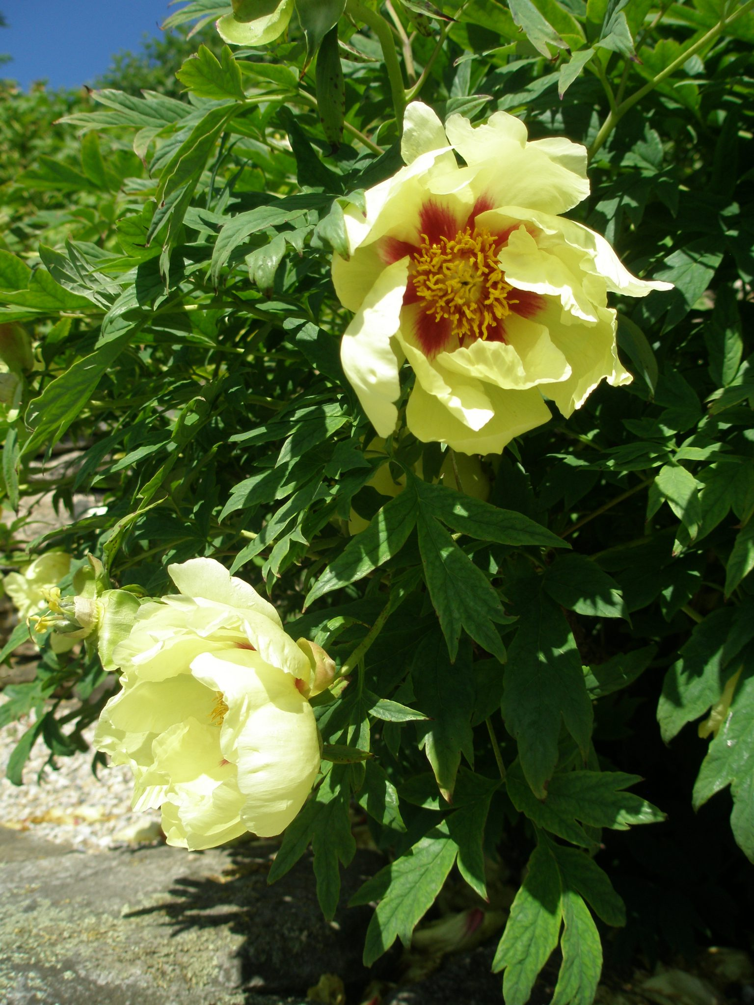 A few Peony-Stragglers held on...for my June 4th visit