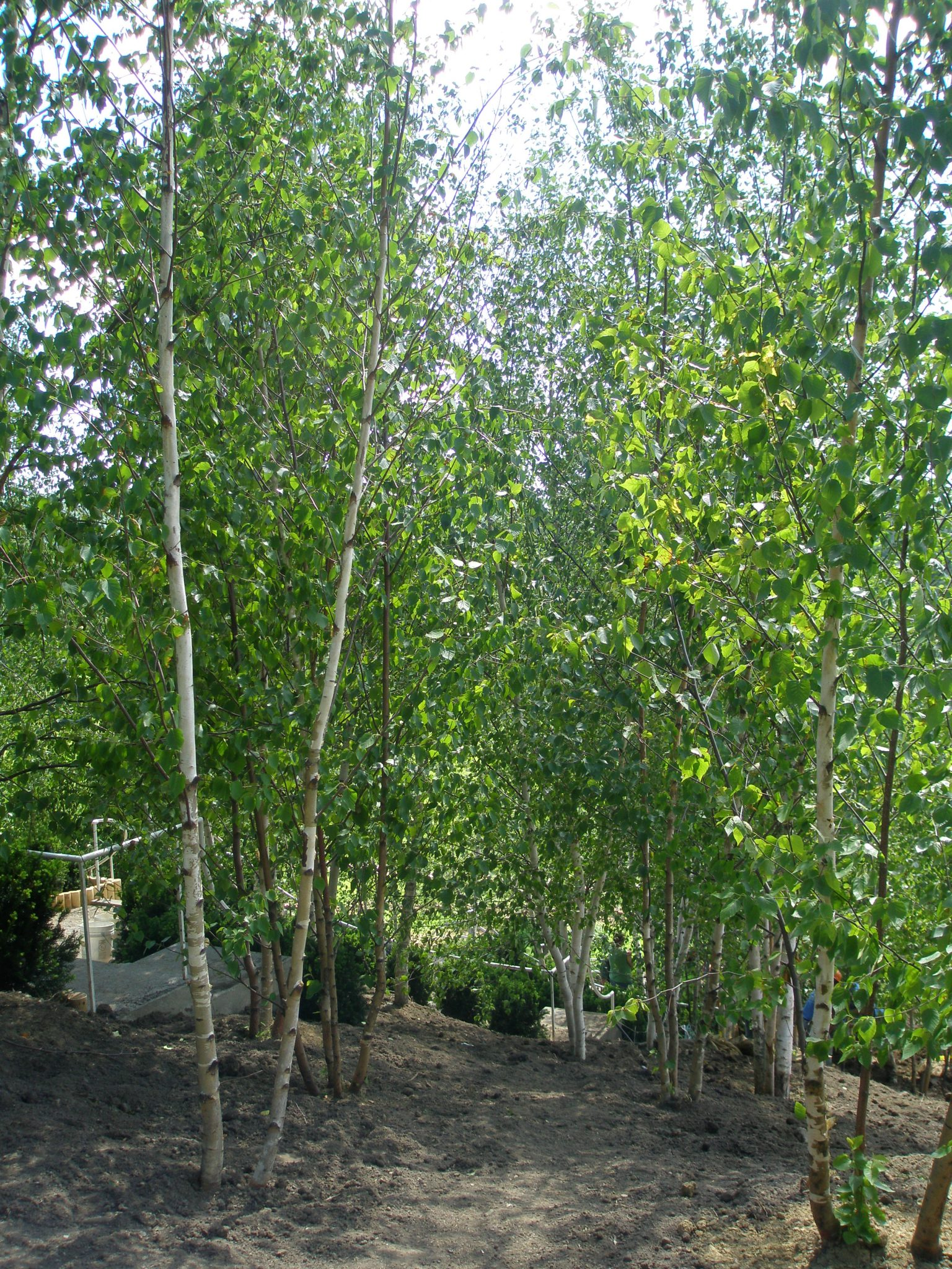 Newly-planted groves of birches, alongside the Blue Steps