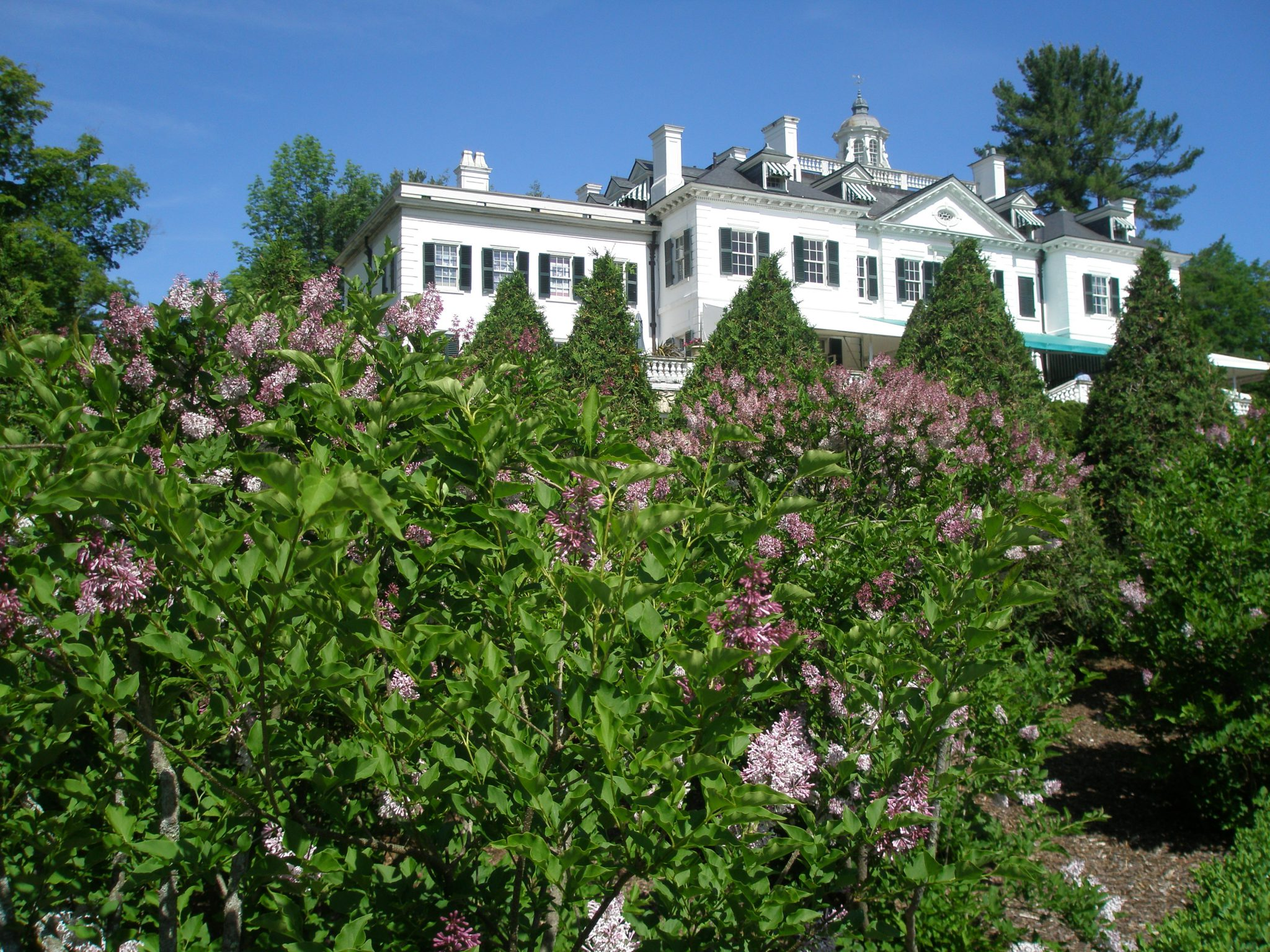Lilacs on Lime Walk