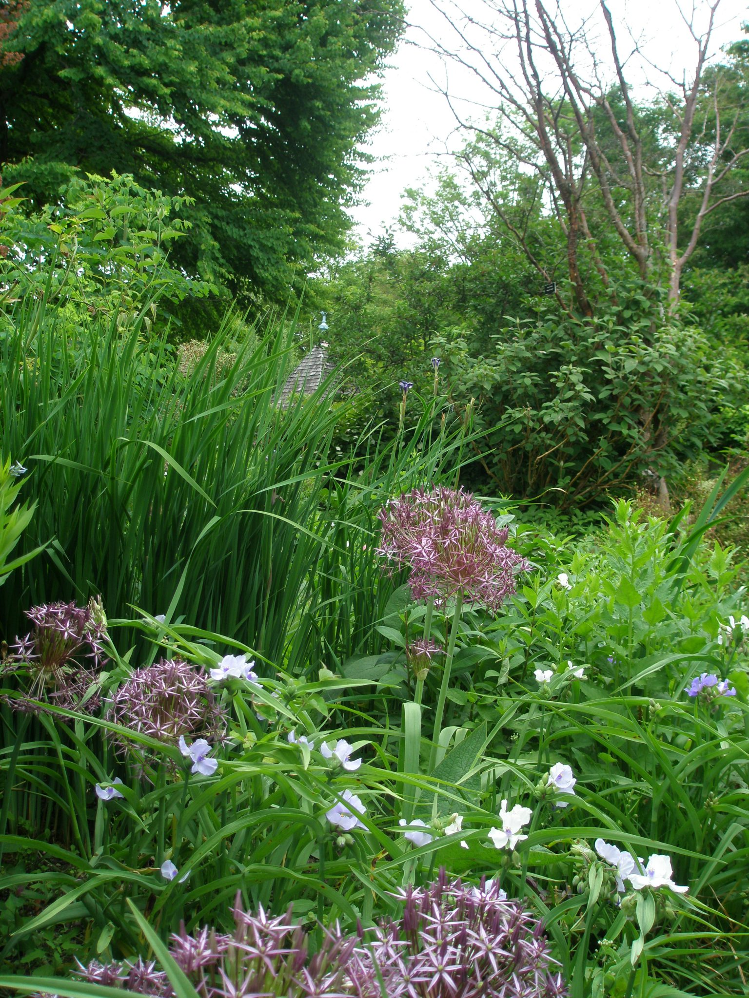Giant Alliums bloom, after Iris blossoms have withered.