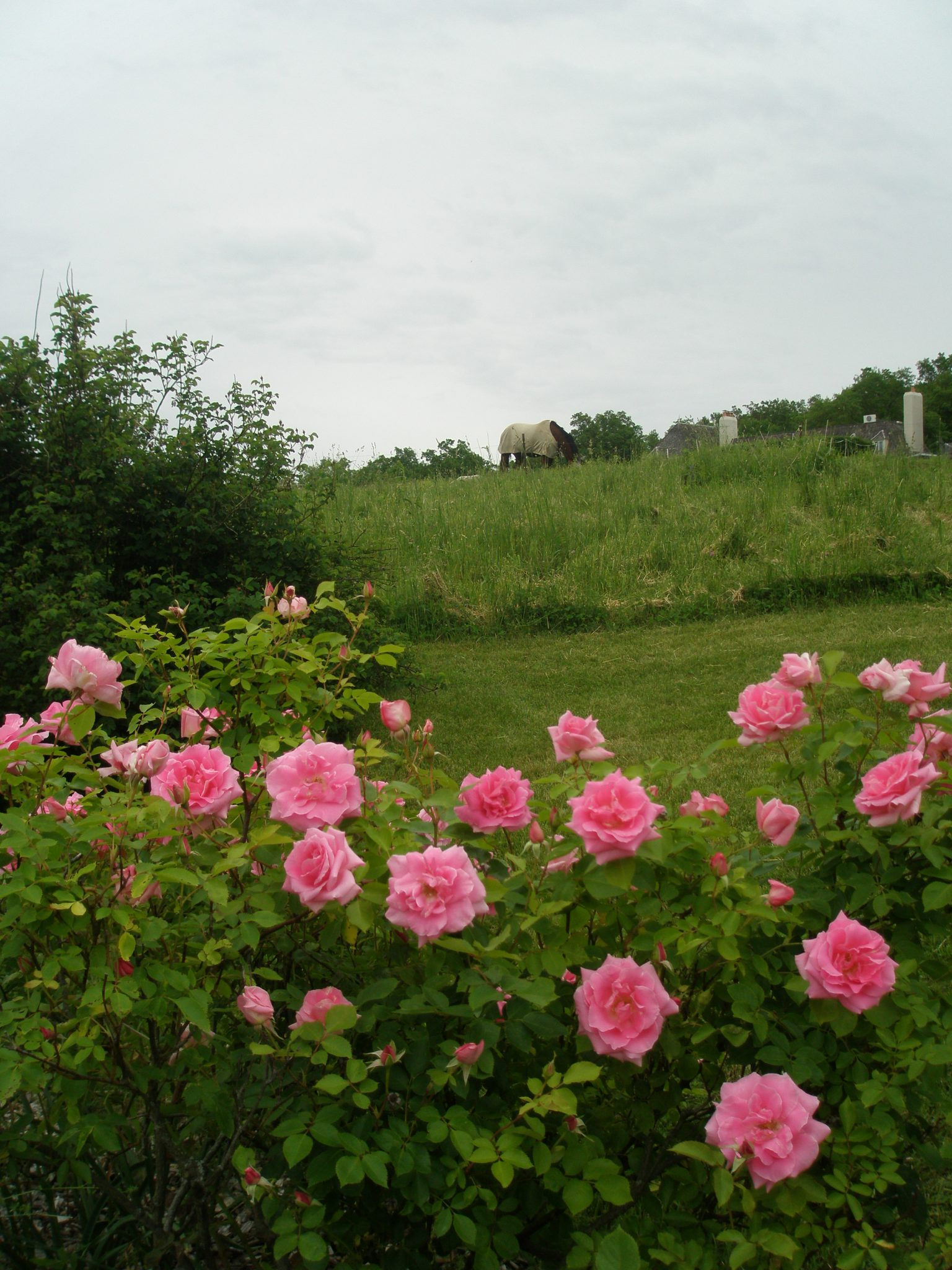 A long hedge of rose bushes festoons the edge of the Pasture