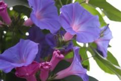 Blooming vines in The Cloud Garden