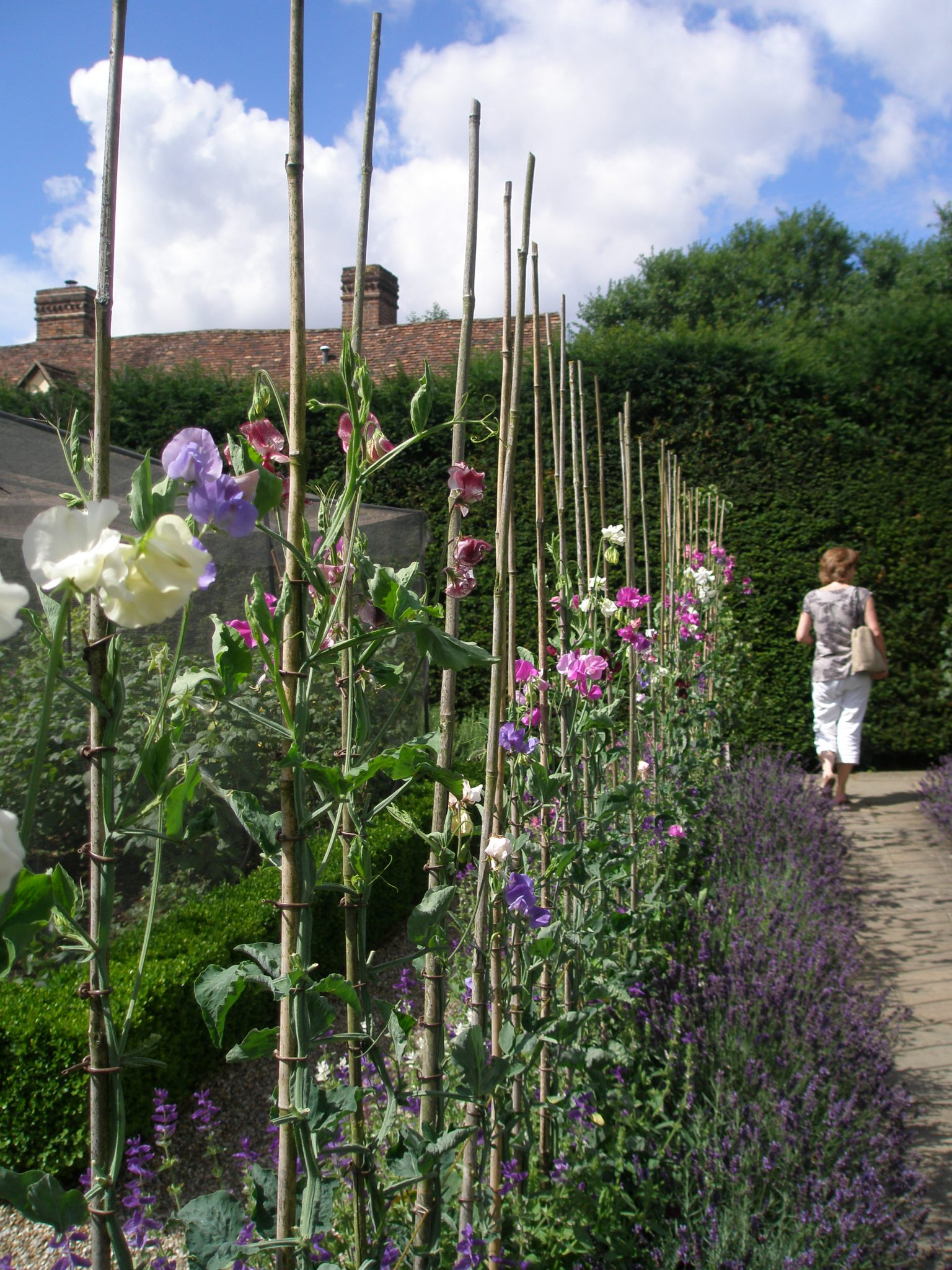 Amanda strolls in the Cuttings Garden, as the fragrances of Sweet Peas and Lavender mingle.