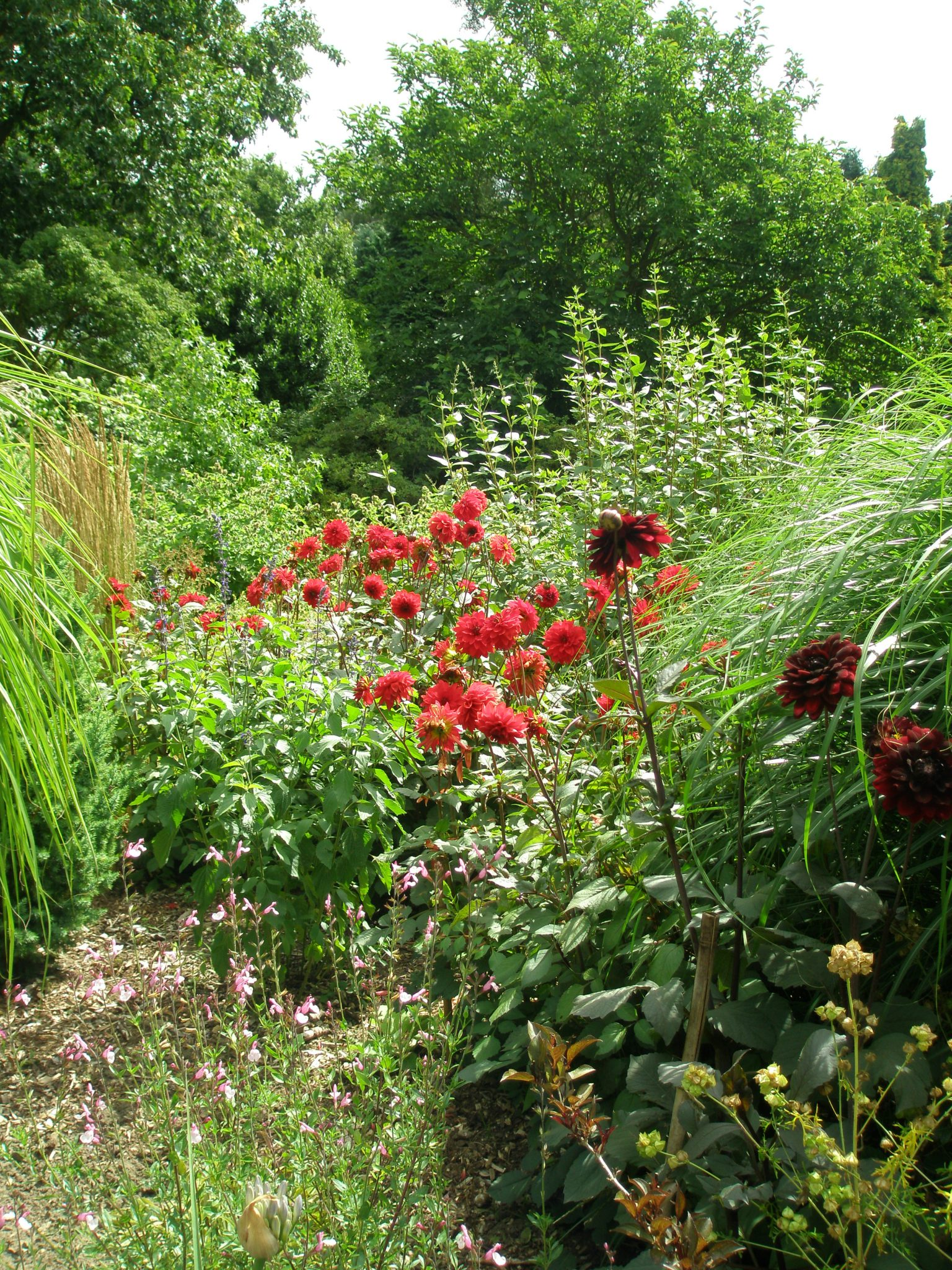 Scarlet Dahlias jostle for a foothold in the Grasses Garden