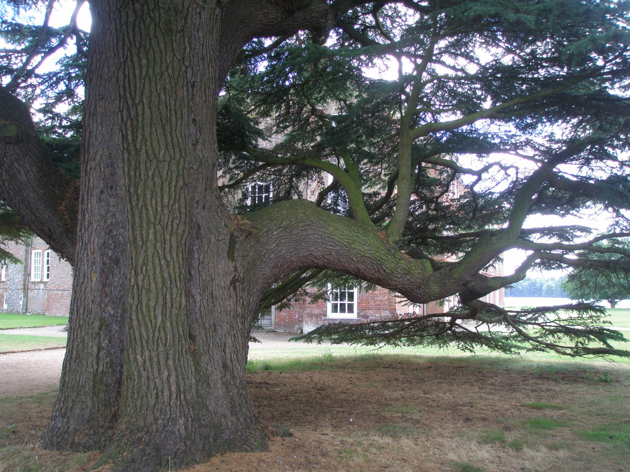 This ancient cedar tree grows behind the Chapel.