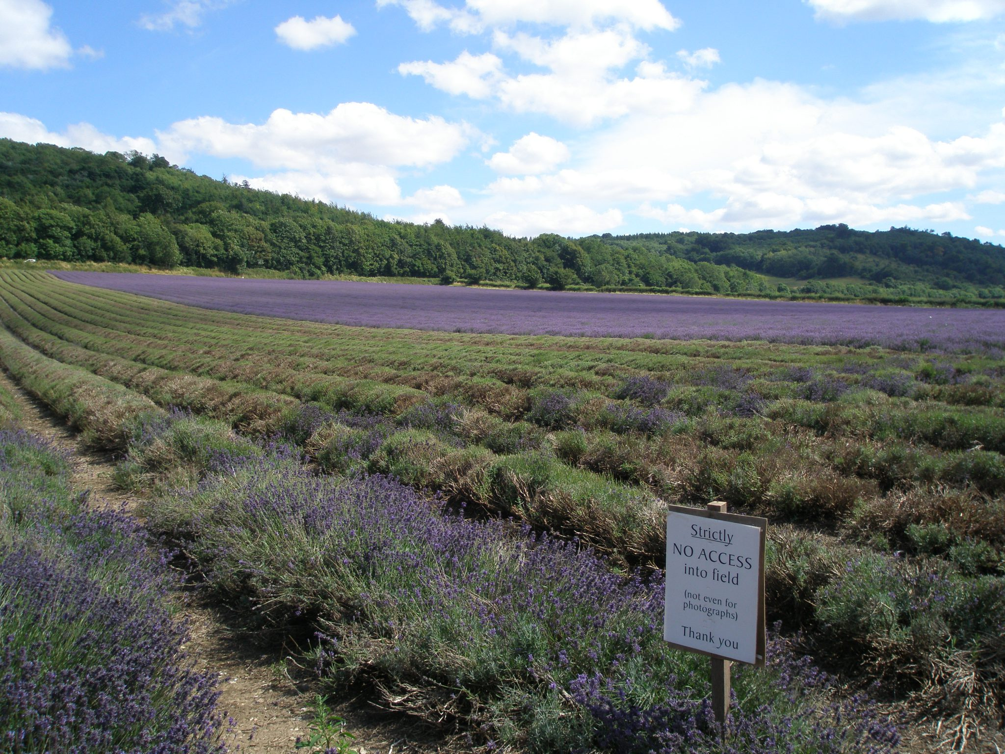 I obeyed, and did not advance into Castle Farm's lavender fields.