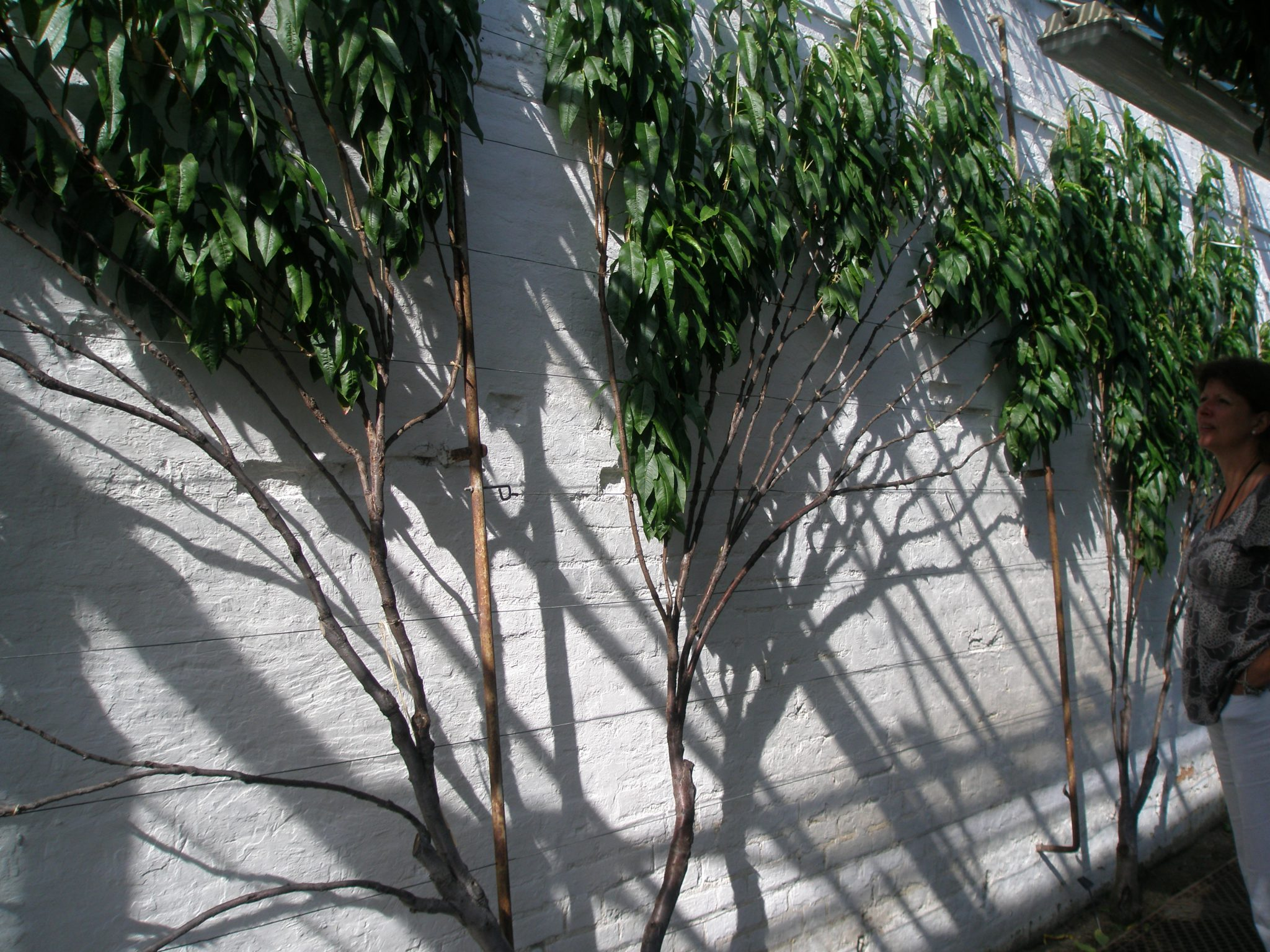Espaliered trees in a glasshouse