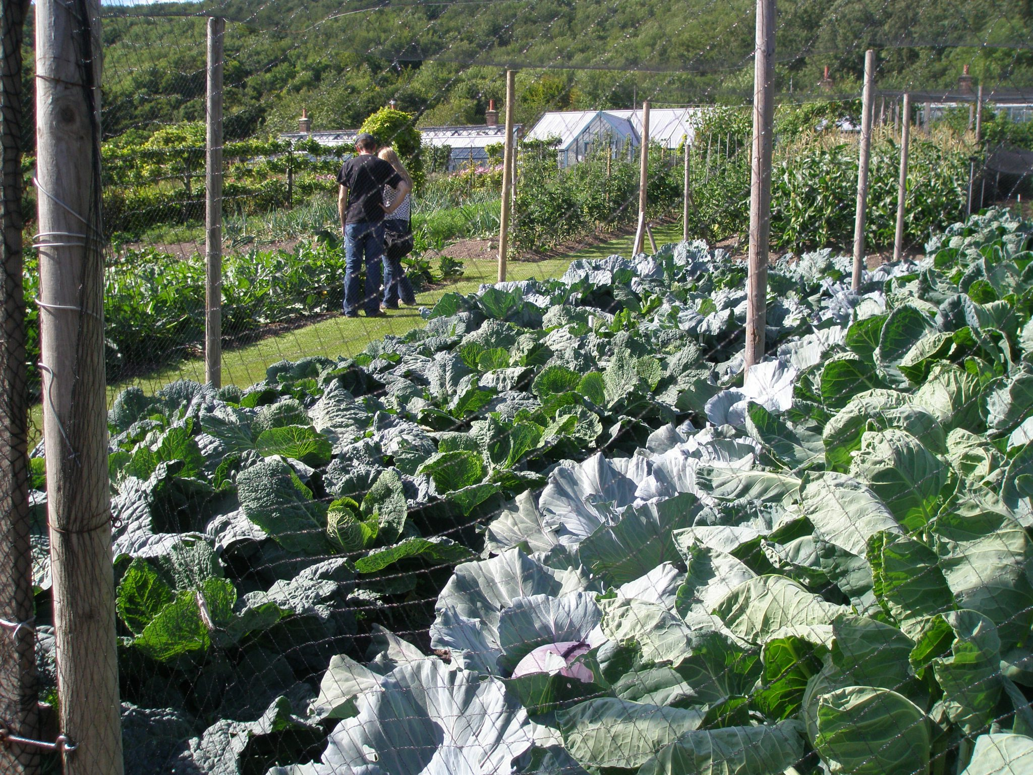 Totally Slug-Free Cabbage: how do Titsey's gardeners do it?