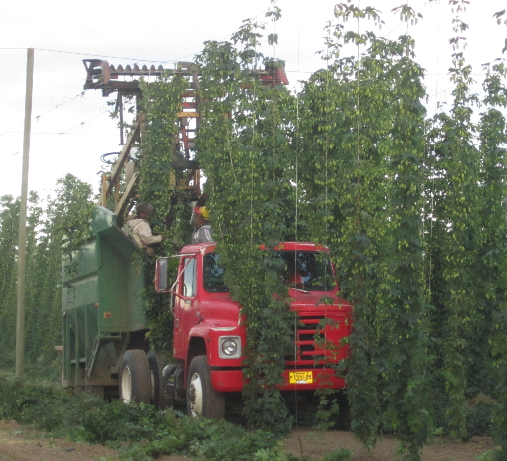 How hops are tended today