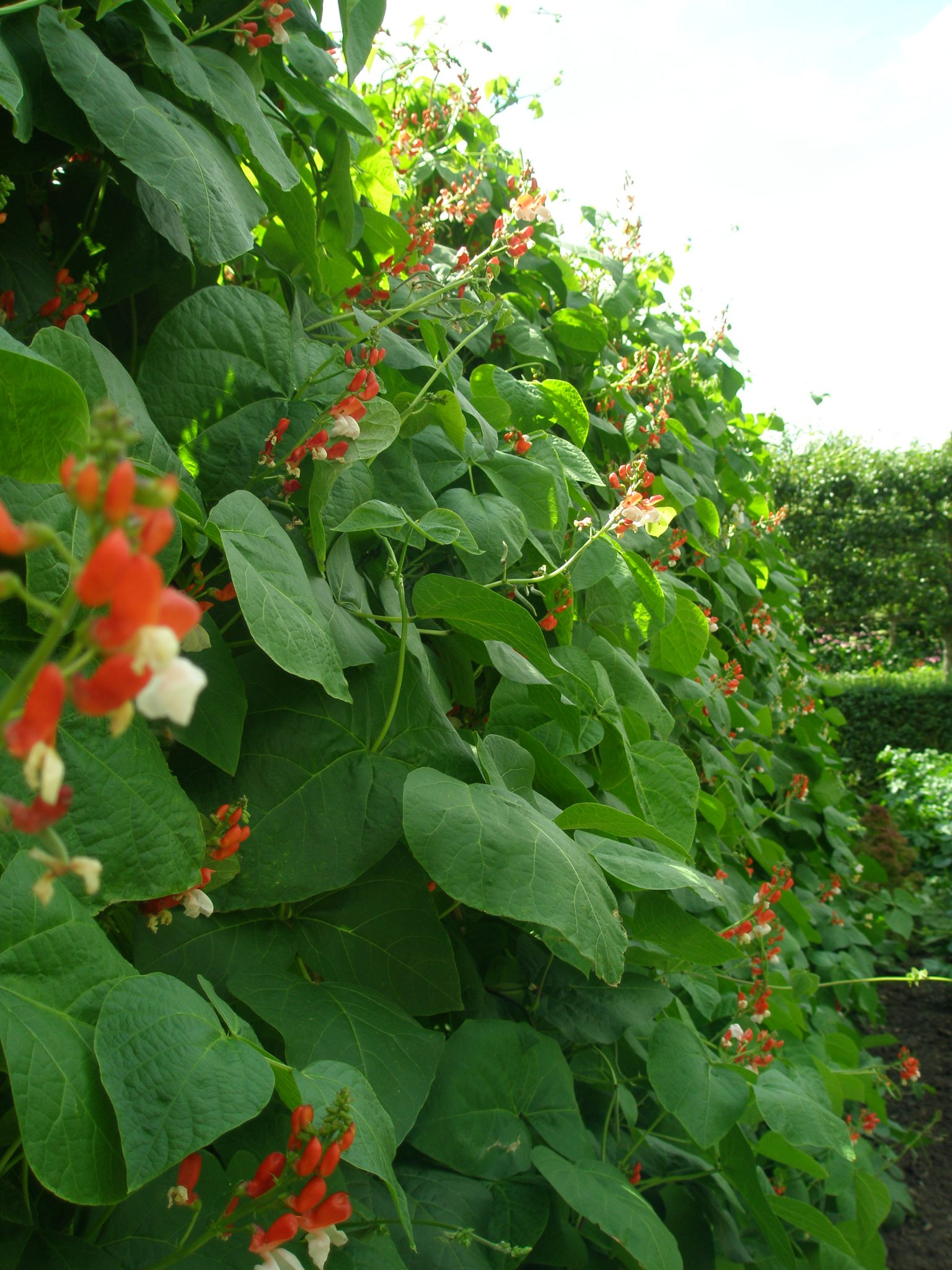 Scarlet Runner Beans clamber up the Potager's brick wall, which was built in 1720.