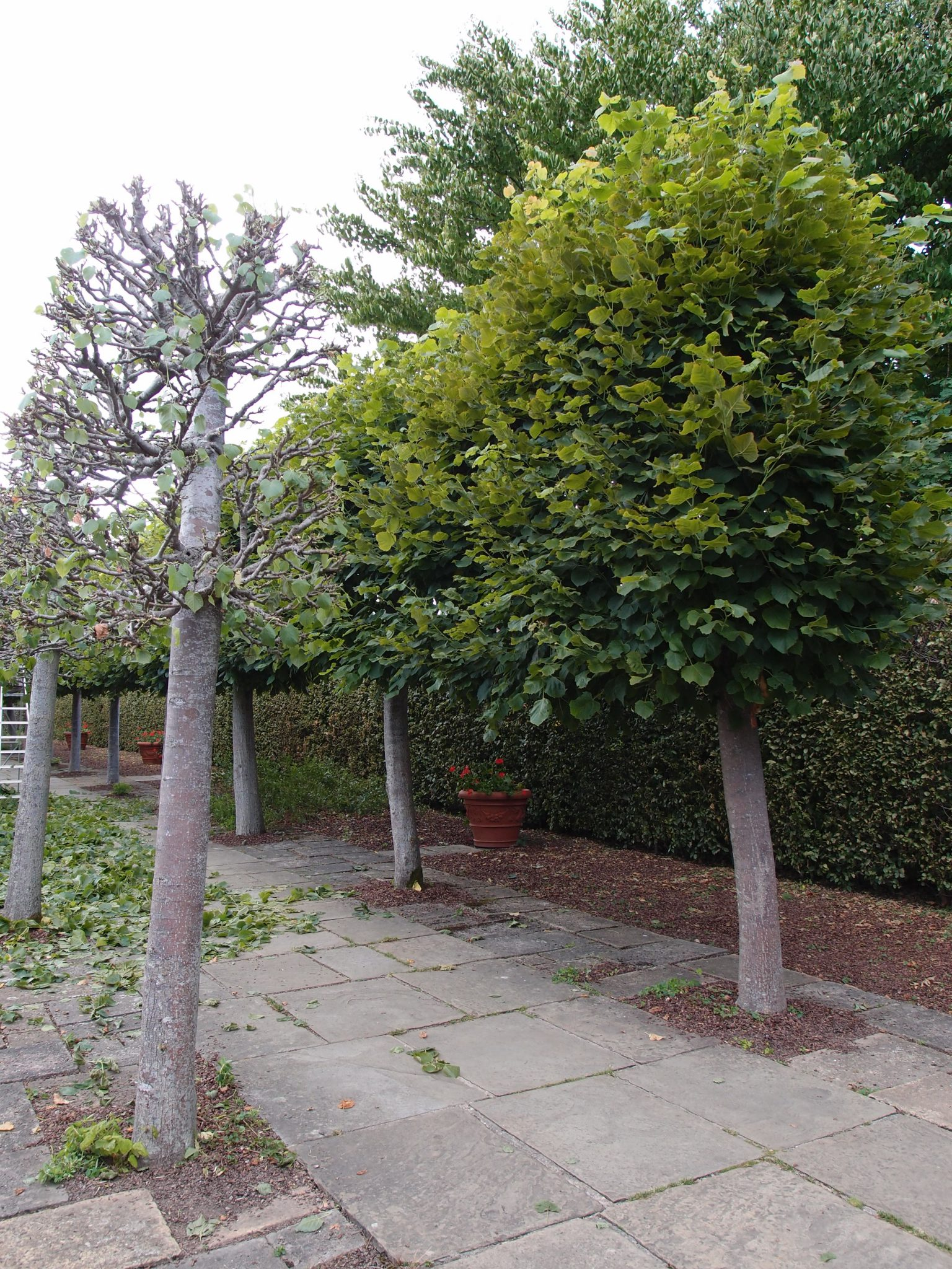One side of the far end of the Lime Walk has been pruned; much clipping still to do.....