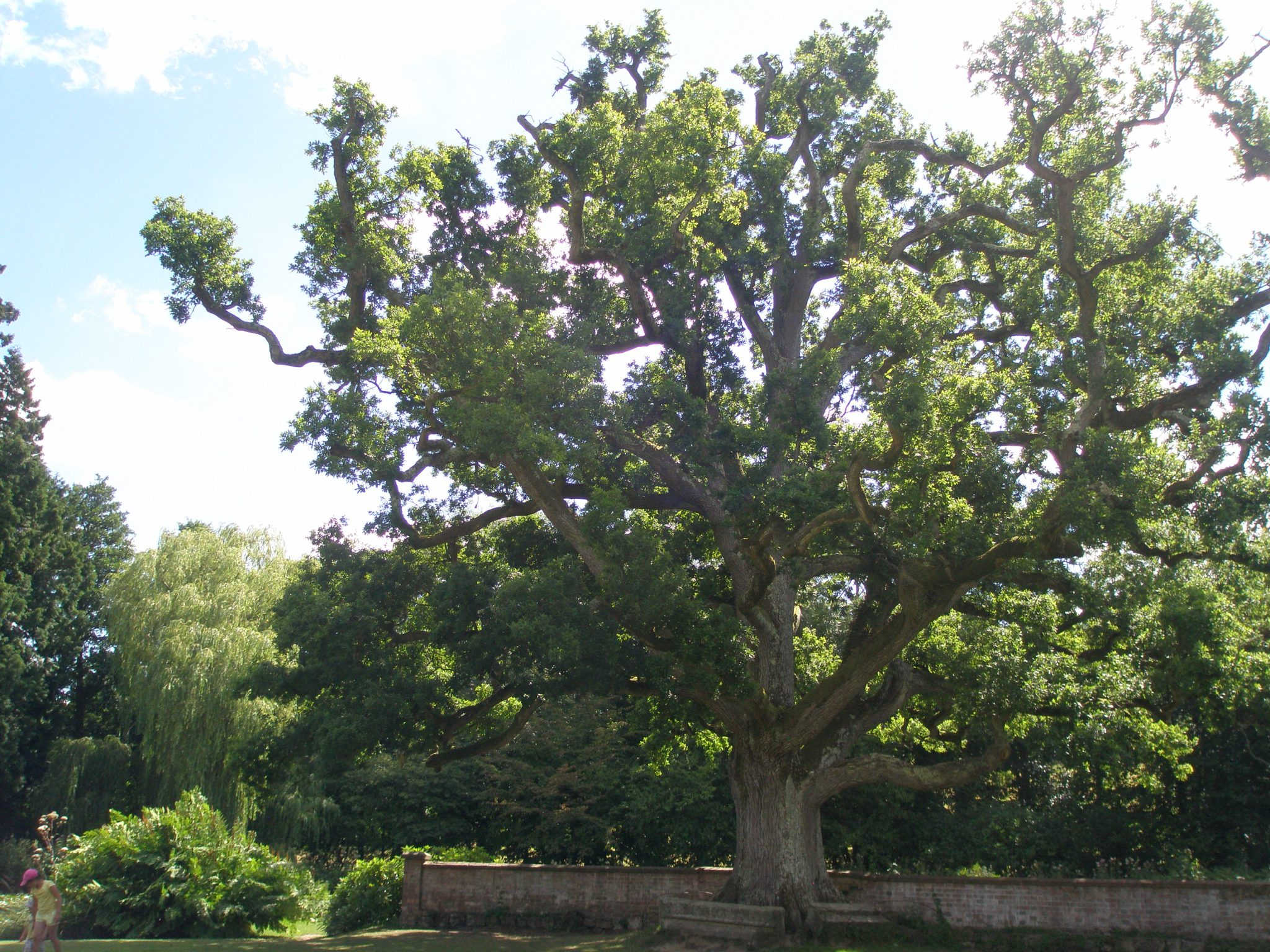 A closer look at the magnificent tree on the Old Castle's Lawn