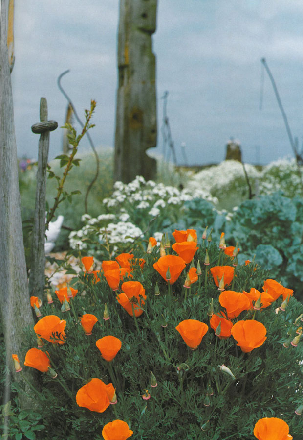 California poppies with sea kale, in a forest of driftwood. Image courtesy of Estate of Derek Jarman.