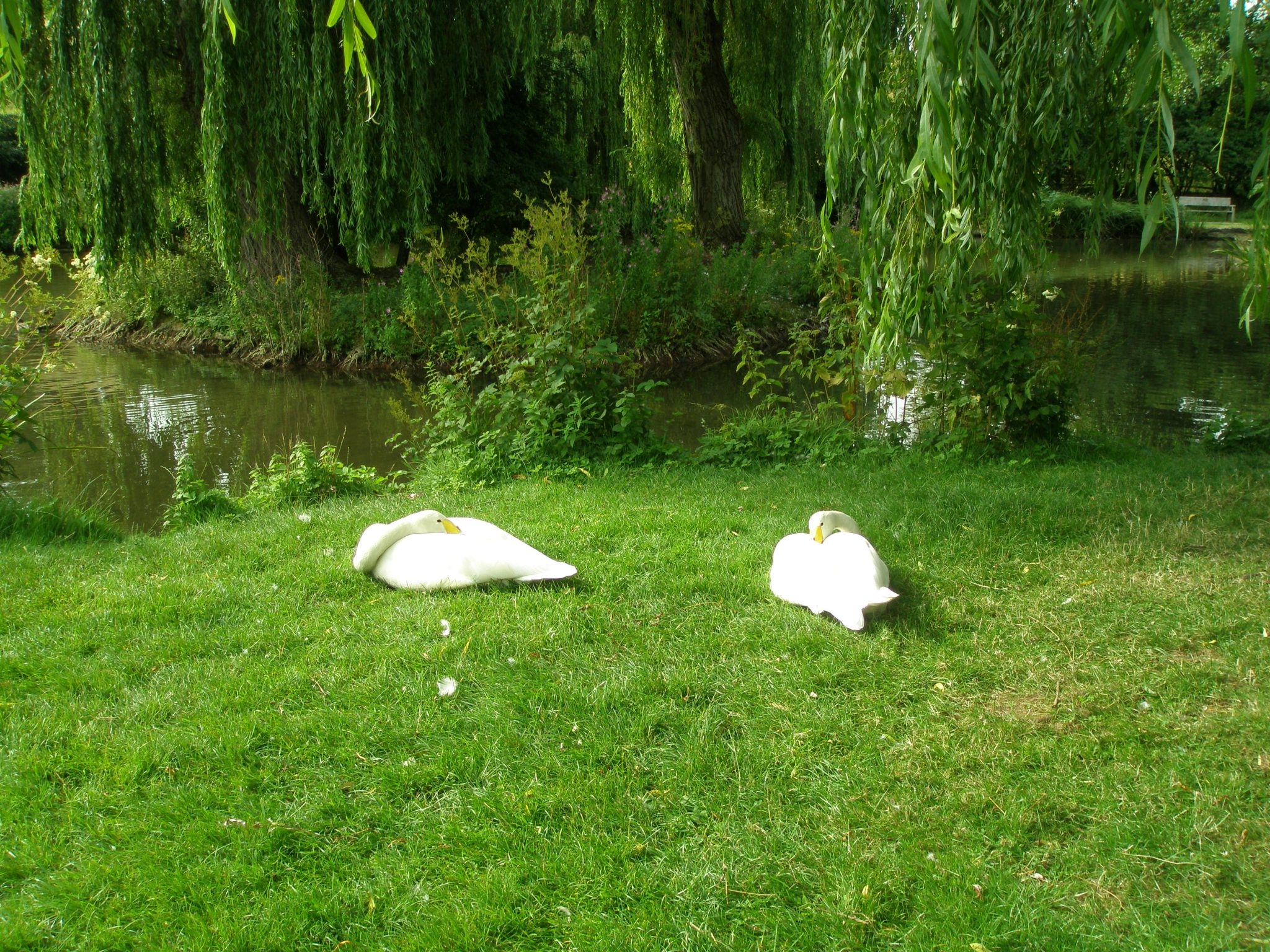 White Swans joined the feathered-throng.