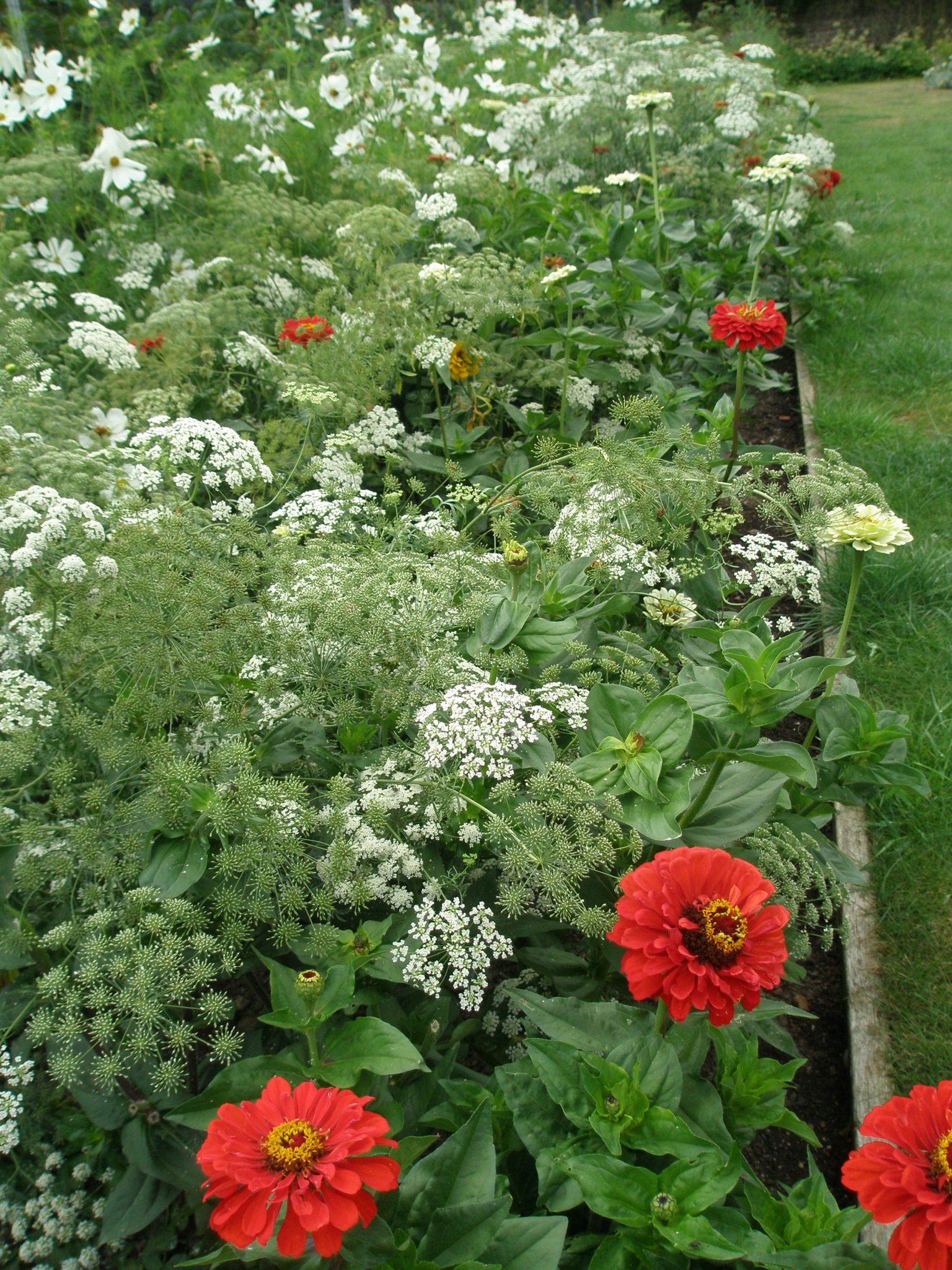 A Tapestry of Zinnias and Herbs in the Walled Garden.