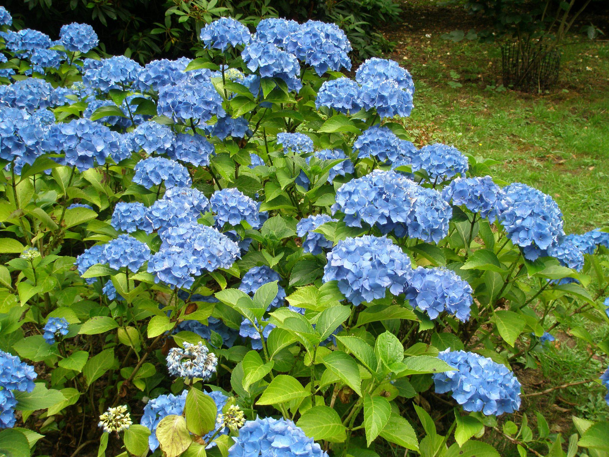 Electric-Blue Hydrangeas abound in the Woodland Garden. WOW!