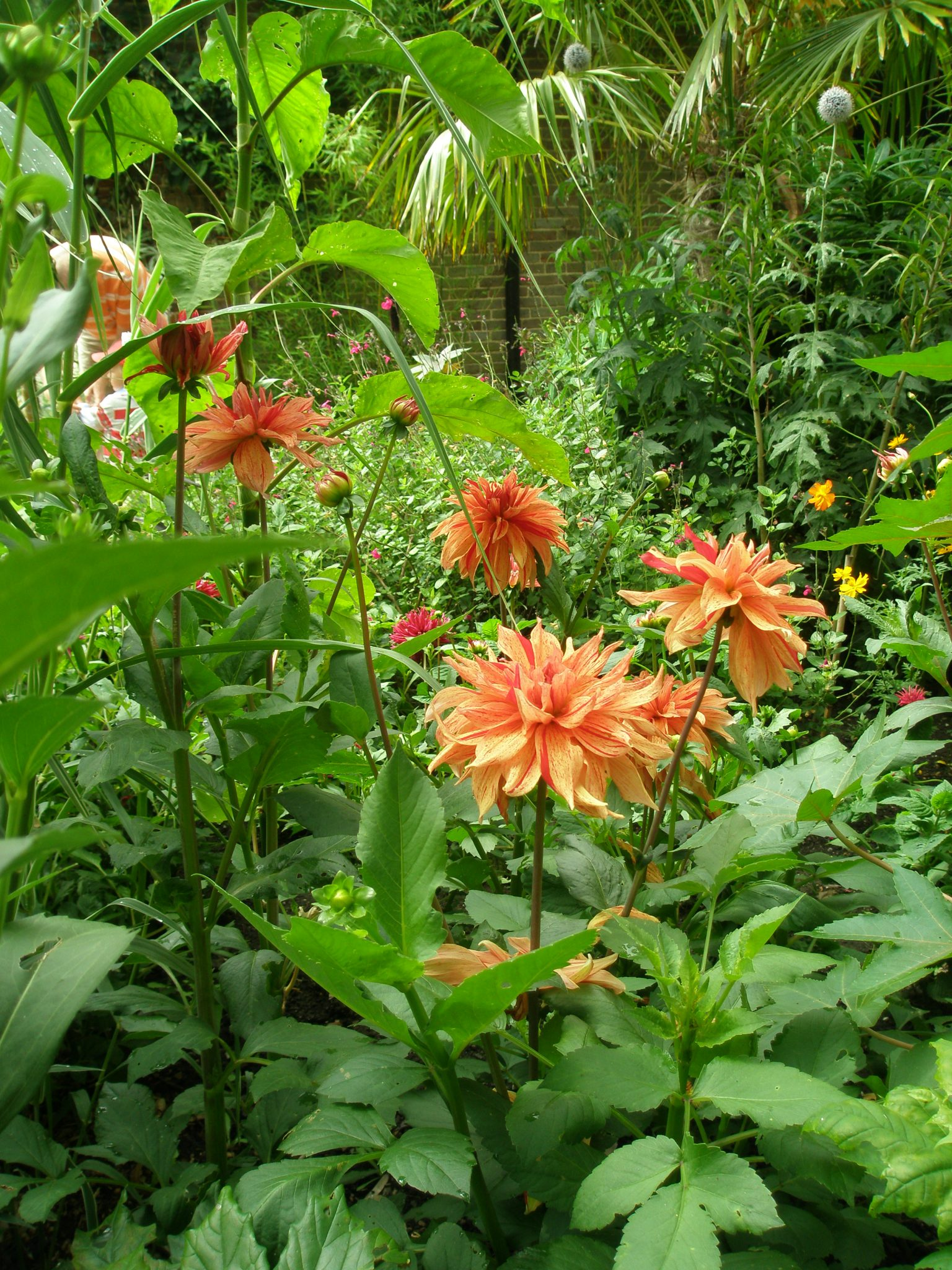 At the Main Entrance end of the Long Border, there's a little Tropical Garden, bursting with palms and dahlias.