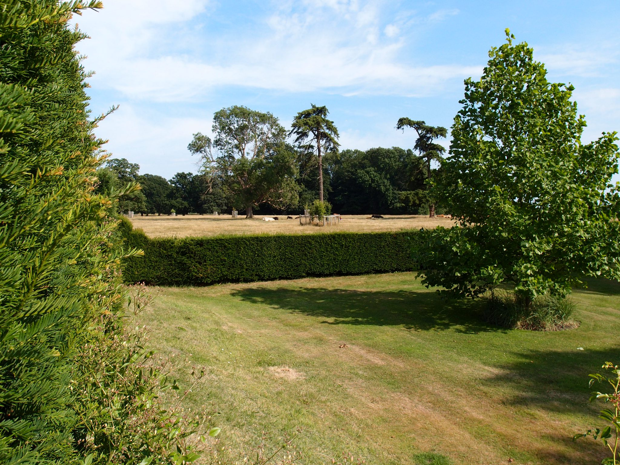 A closer look at the cattle who graze, on the other side of the Garden's perimeter wall of yew hedges.
