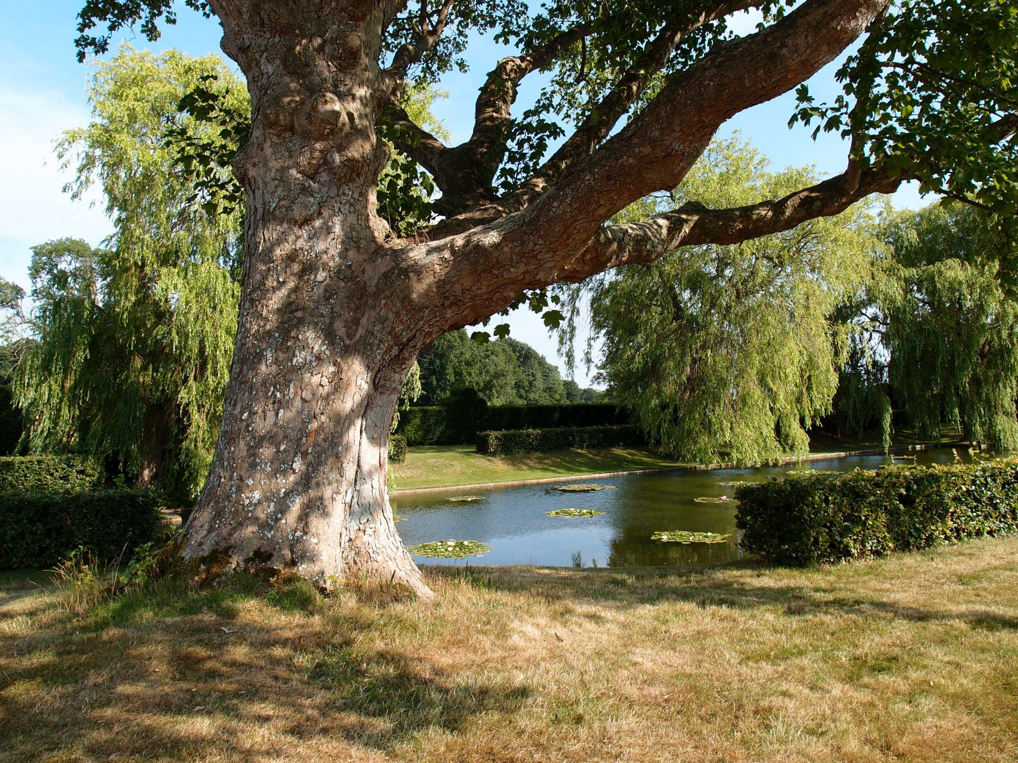 An ancient sycamore tree, by the Lily Pond