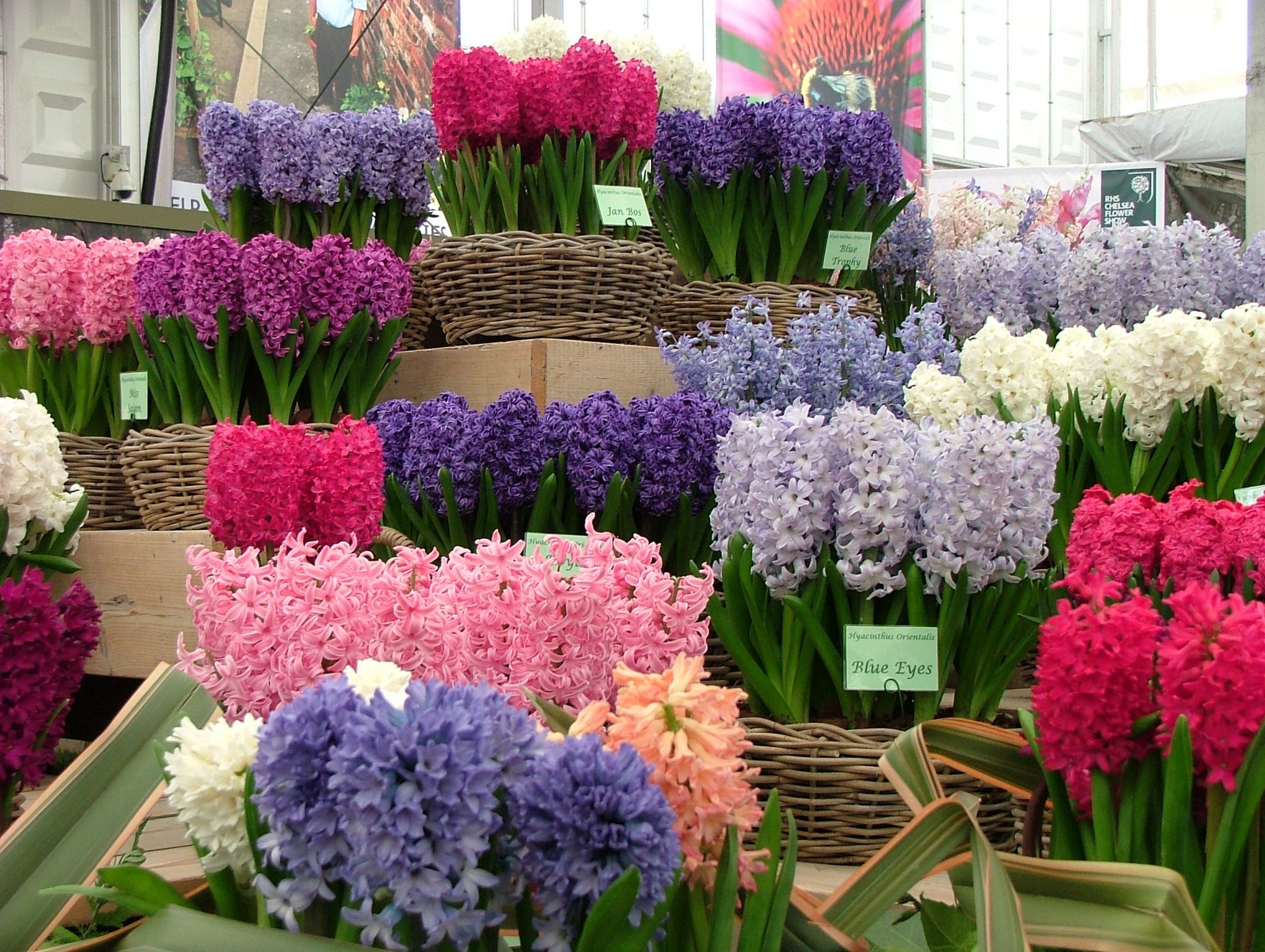 ...and Armies of Hyacinths. Photo by Anne Guy.