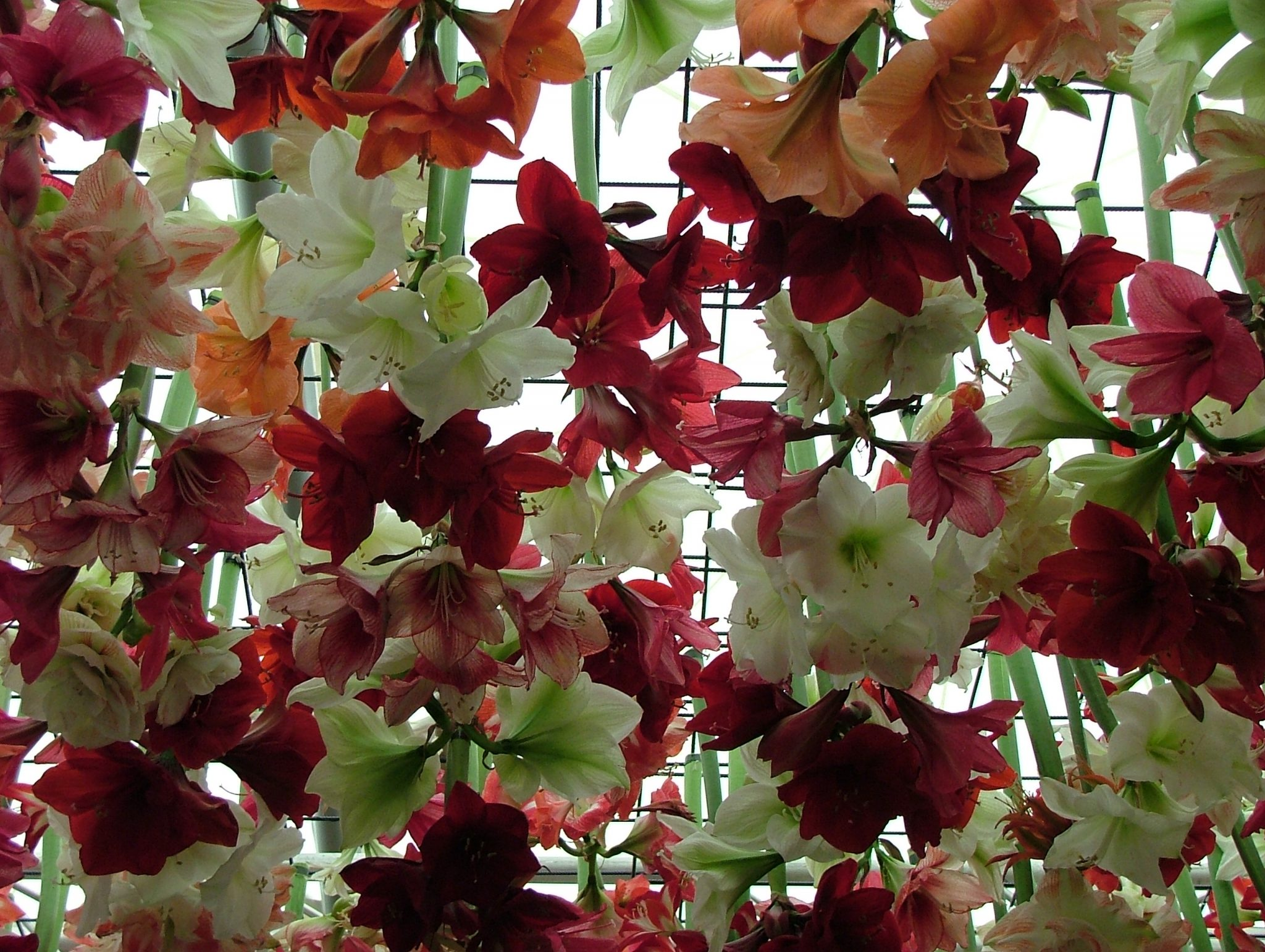 What you see here are just a fraction of hundreds of Amaryllis, which were hung upside down from the ceiling.Photo by Anne Guy.