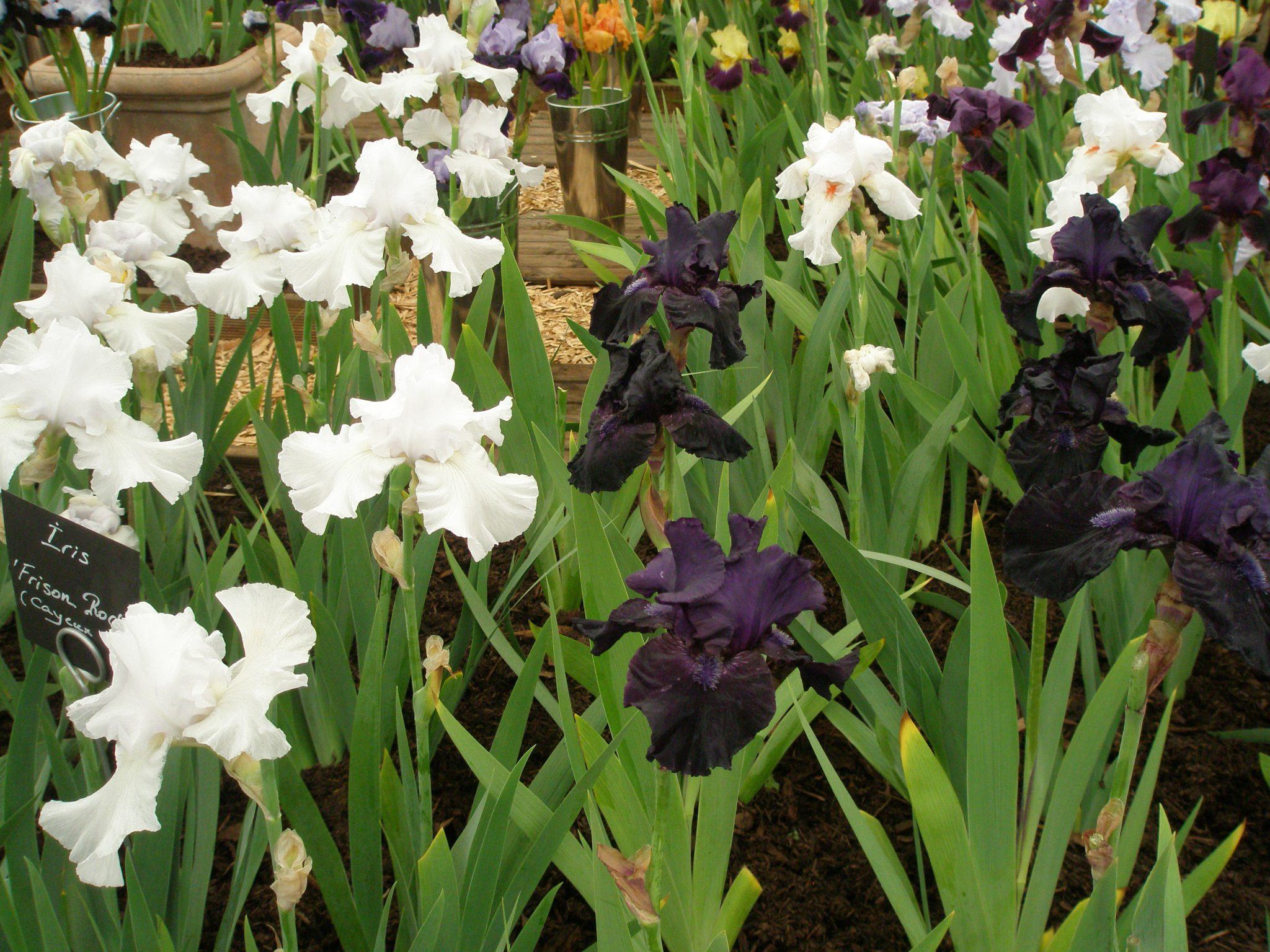 That's more like it....a calming sea of Iris.