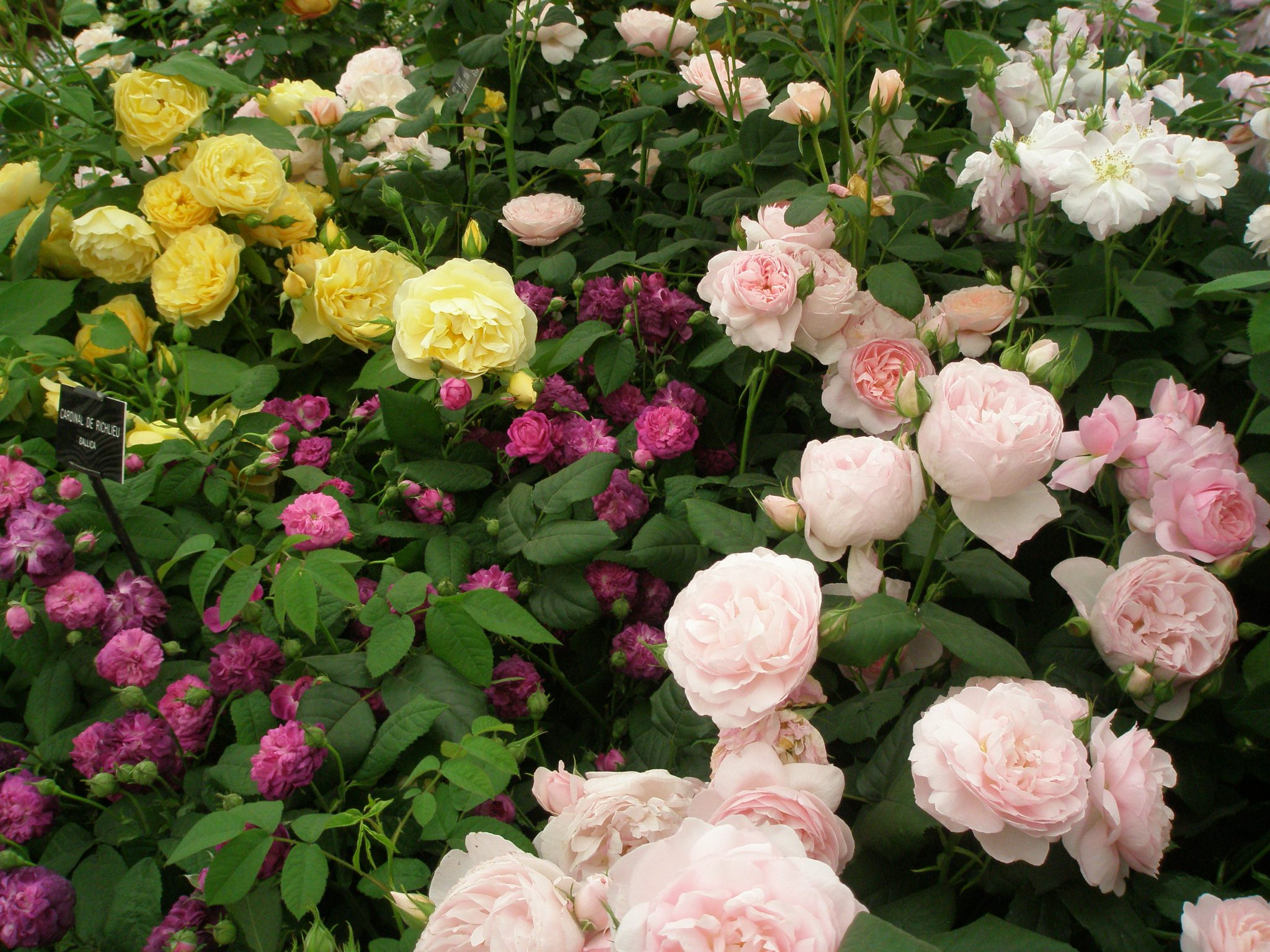 Why David Austin's roses are so sought-after