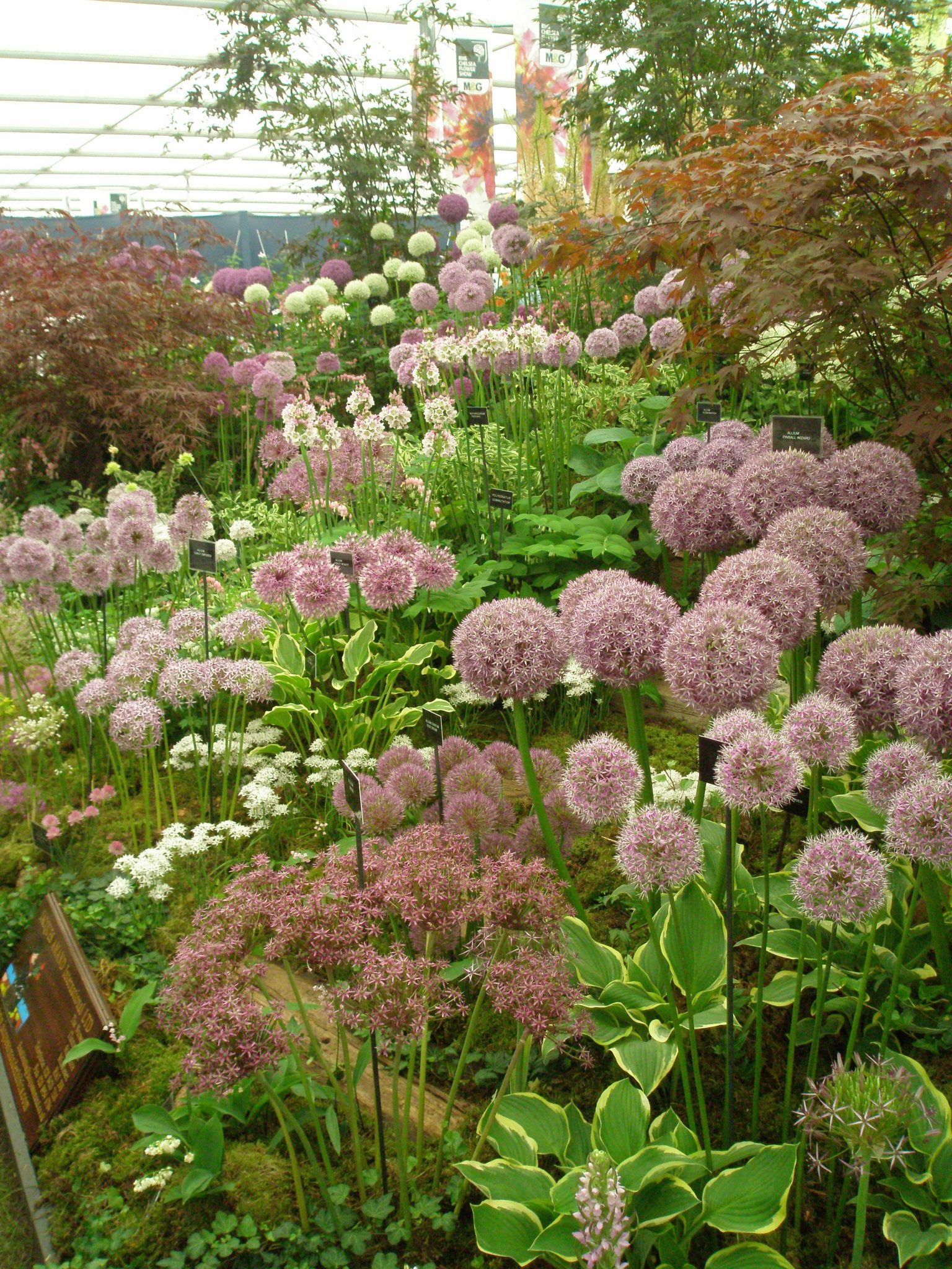 Allium-Heaven. This is what I'd like my Late-Springtime-Dream-Garden to look like...