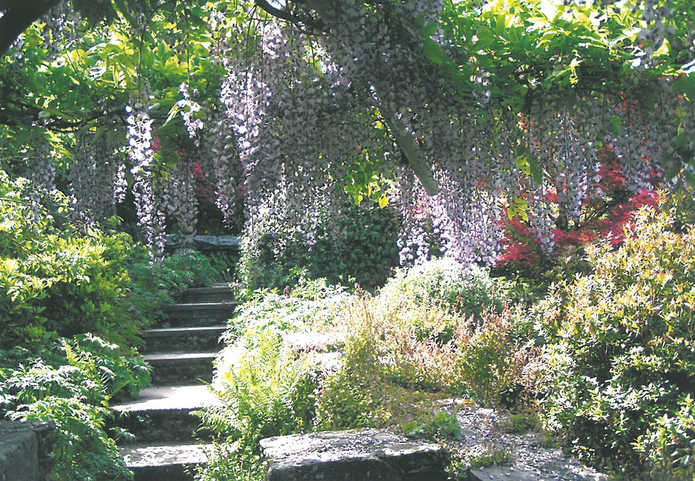 This is the sight we missed, at the Wisteria Bridge: the glorious explosion of 5 different wisteria cultivars, which happens in May. Image courtesy of The Garden House.