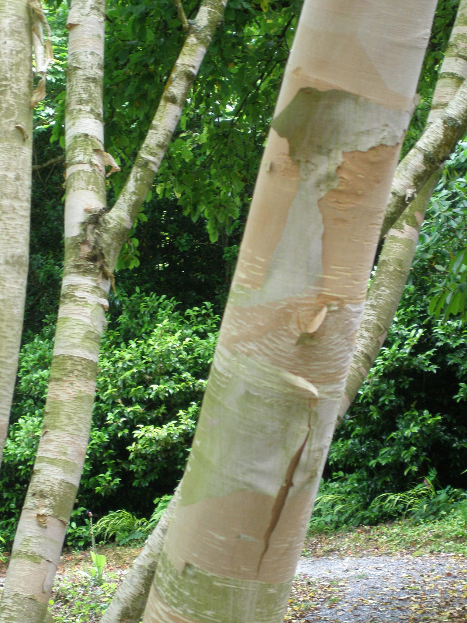 Birch Wood detail