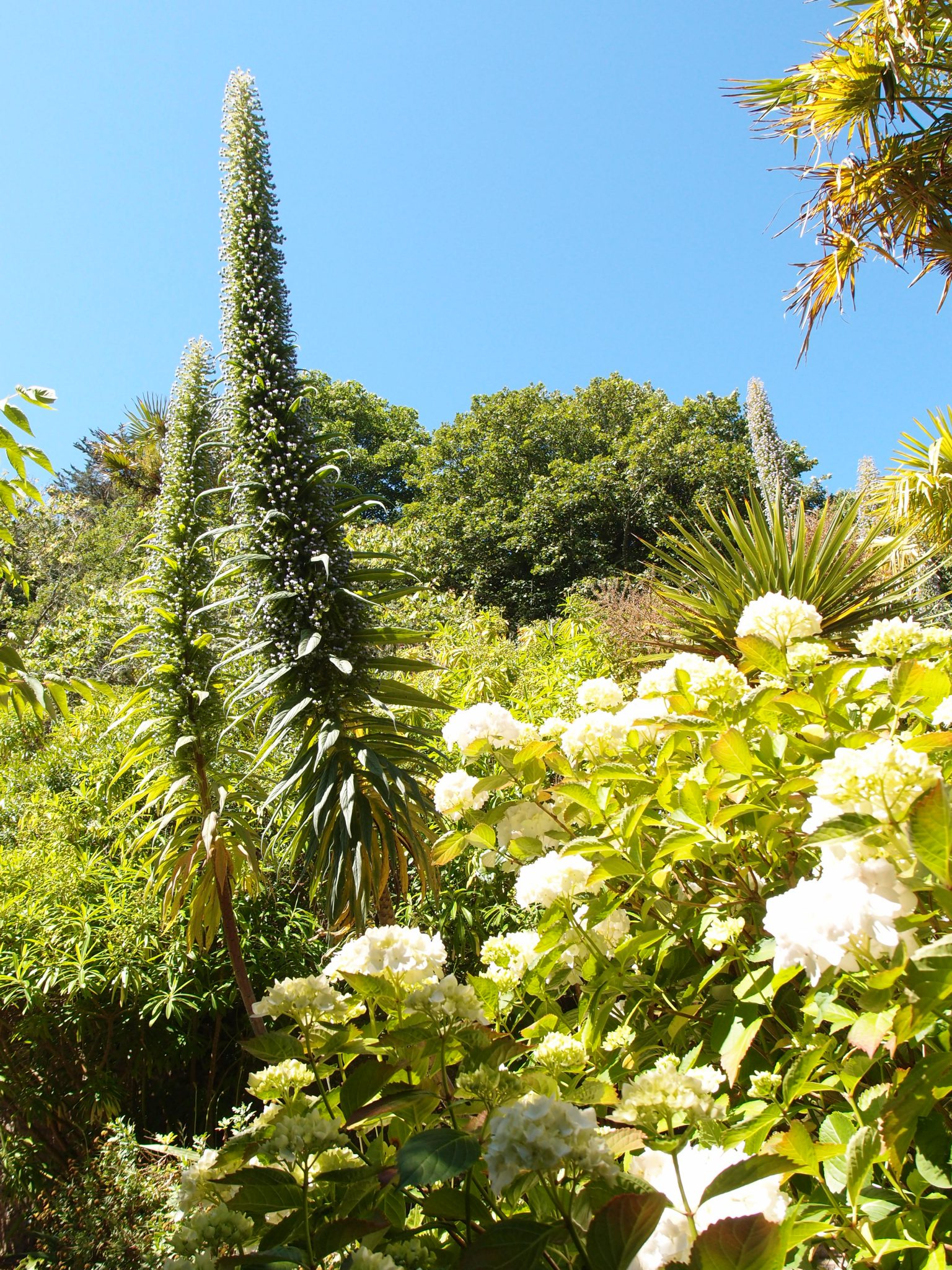 Tree Echiums tower over white hydrangeas