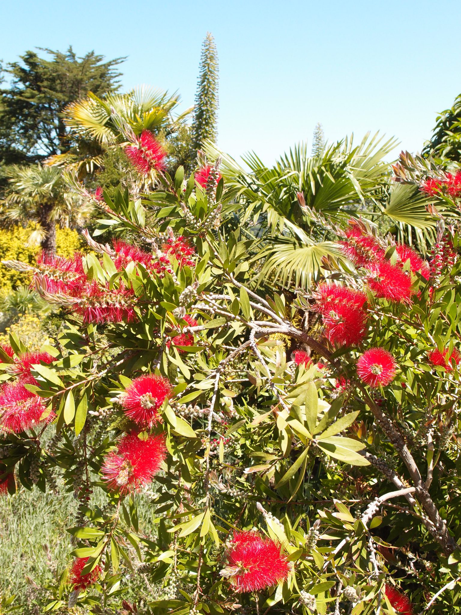 In the Palm Gardens: a thicket of Crimson bottlebrush ( Callistemon citrinus)