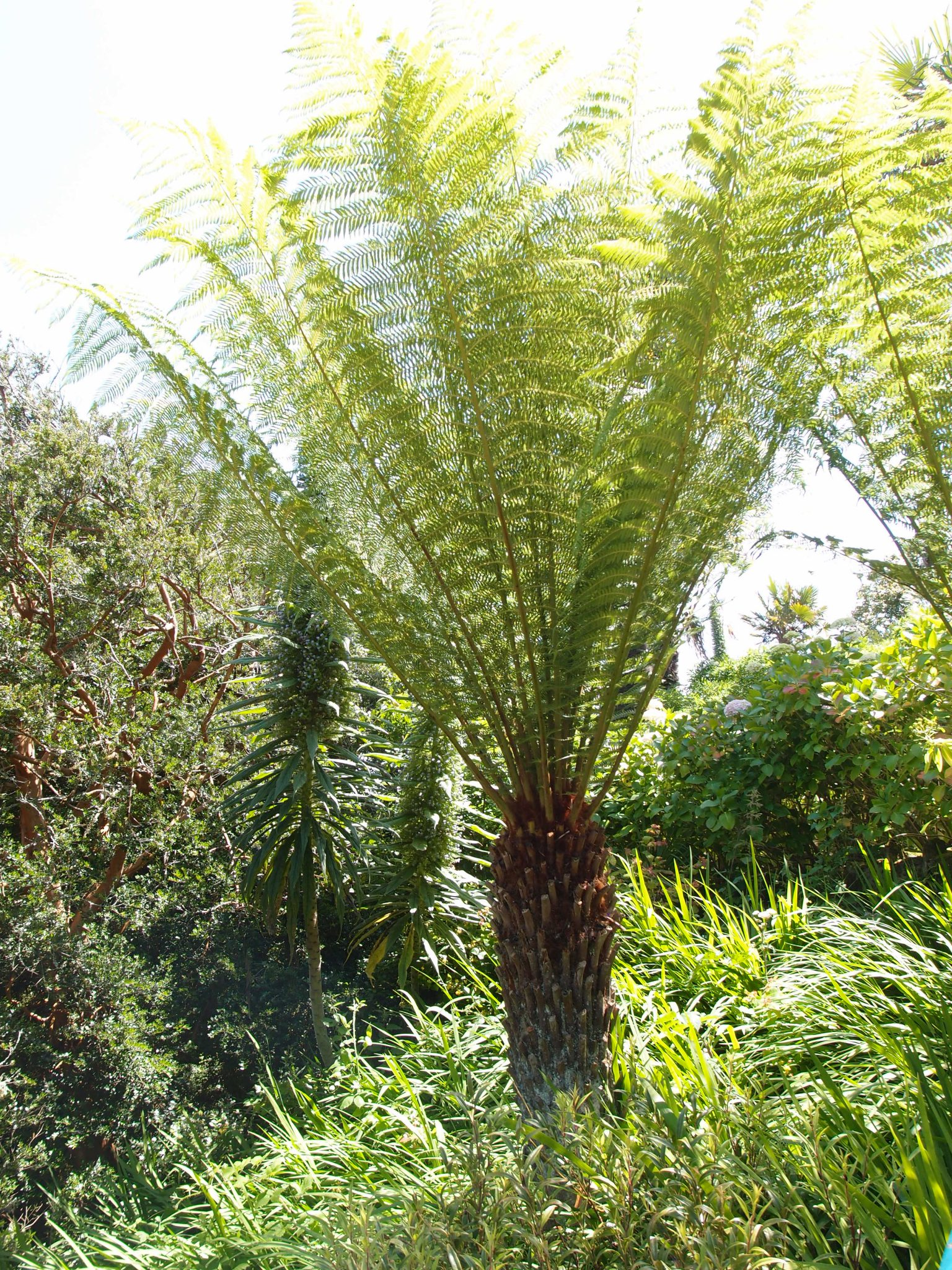 In the Gazebo Garden: a grove of Tree Fern (Dicksonia antartica)