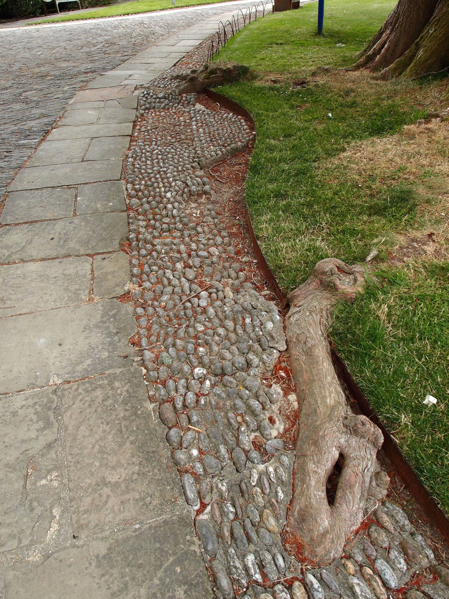 When paving stones were laid in the 1930s, care was taken to not disturb the roots of the Swamp Cypress.