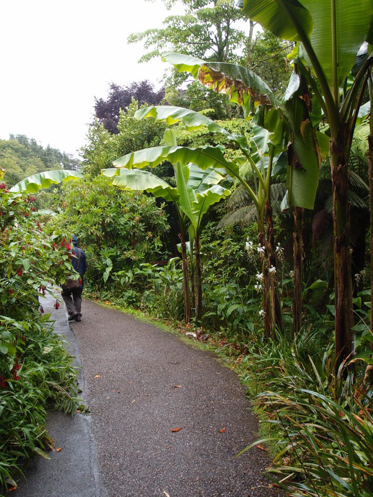 Banana Trees, in the Glade
